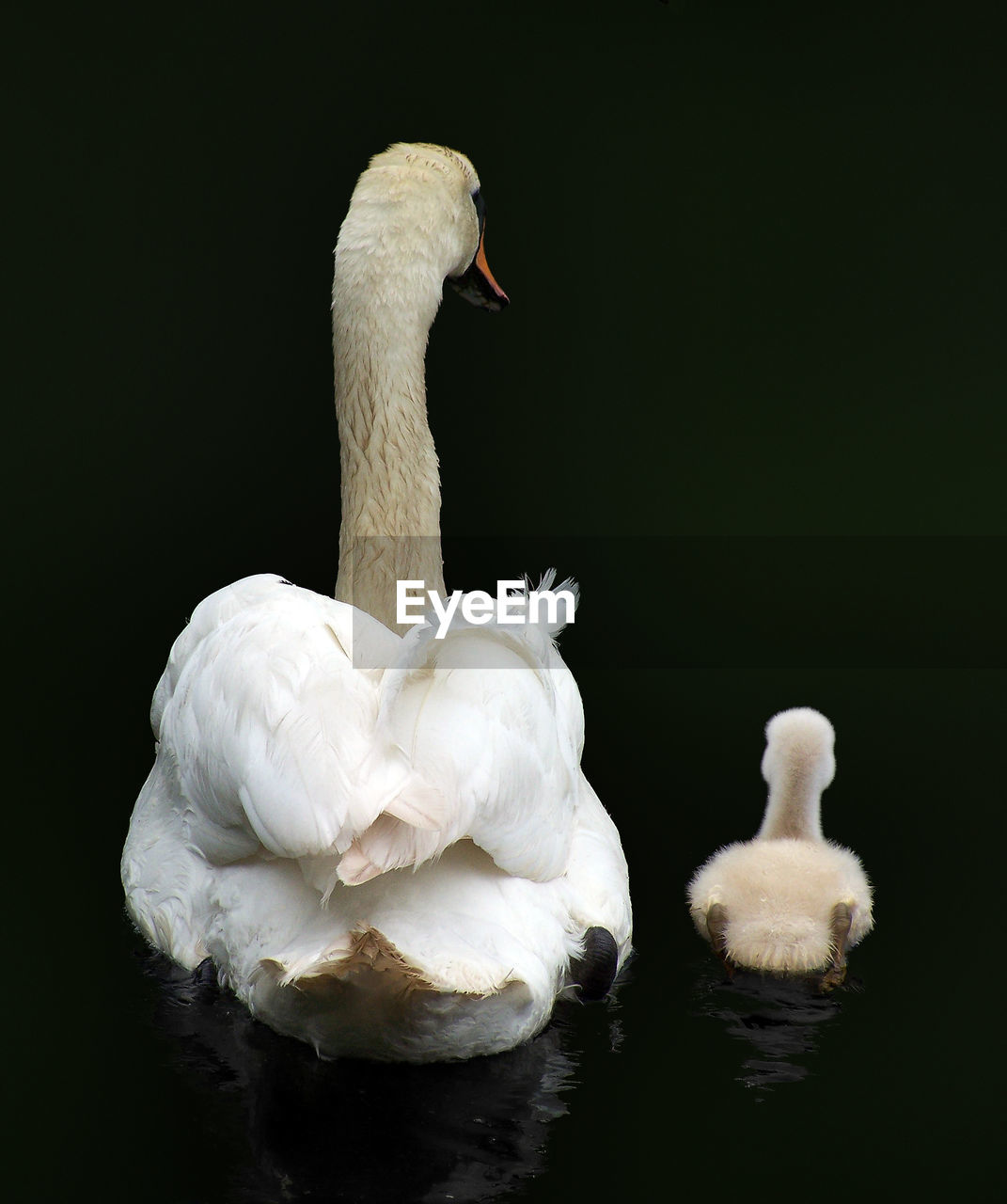 Rear View Of Swan Swimming With Cygnet In Lake