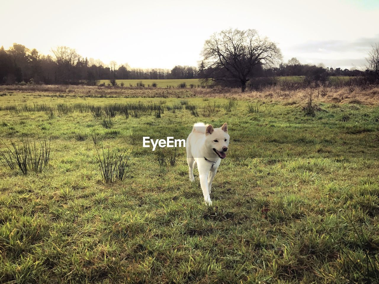 dog, domestic animals, pets, animal themes, grass, field, one animal, mammal, nature, landscape, no people, outdoors, growth, day, tree, sky, full length