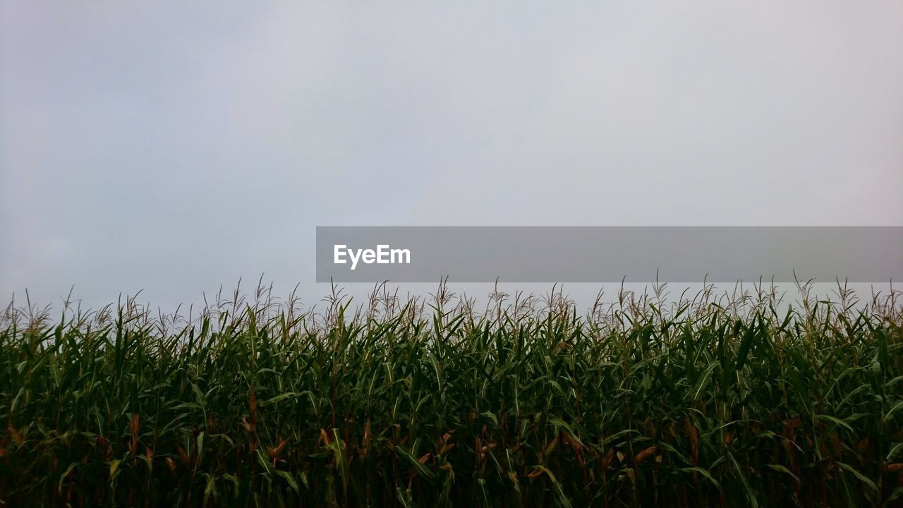 growth, field, nature, agriculture, grass, wheat, sky, outdoors, no people