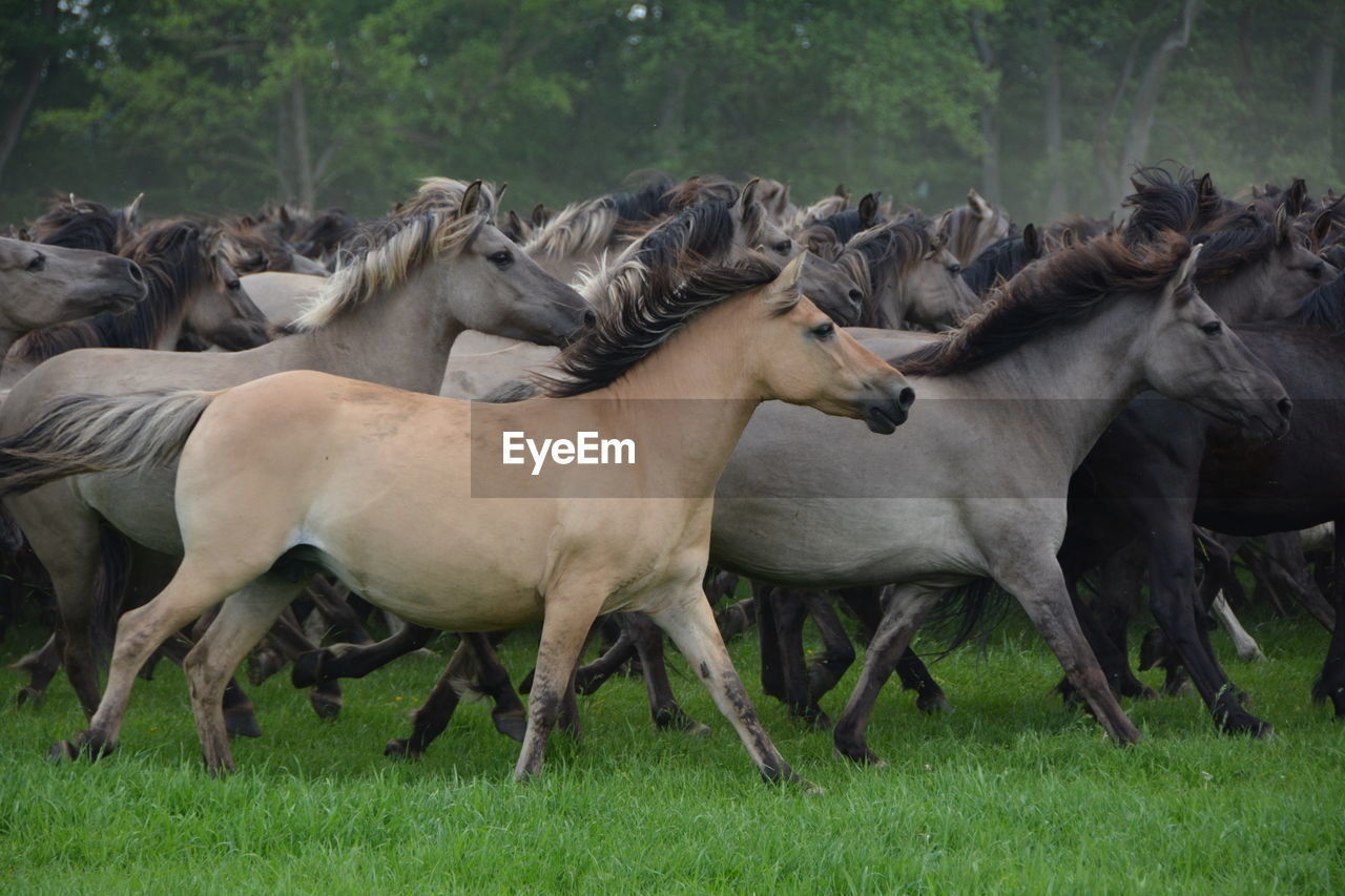 Side View Of Horses Running On Grass