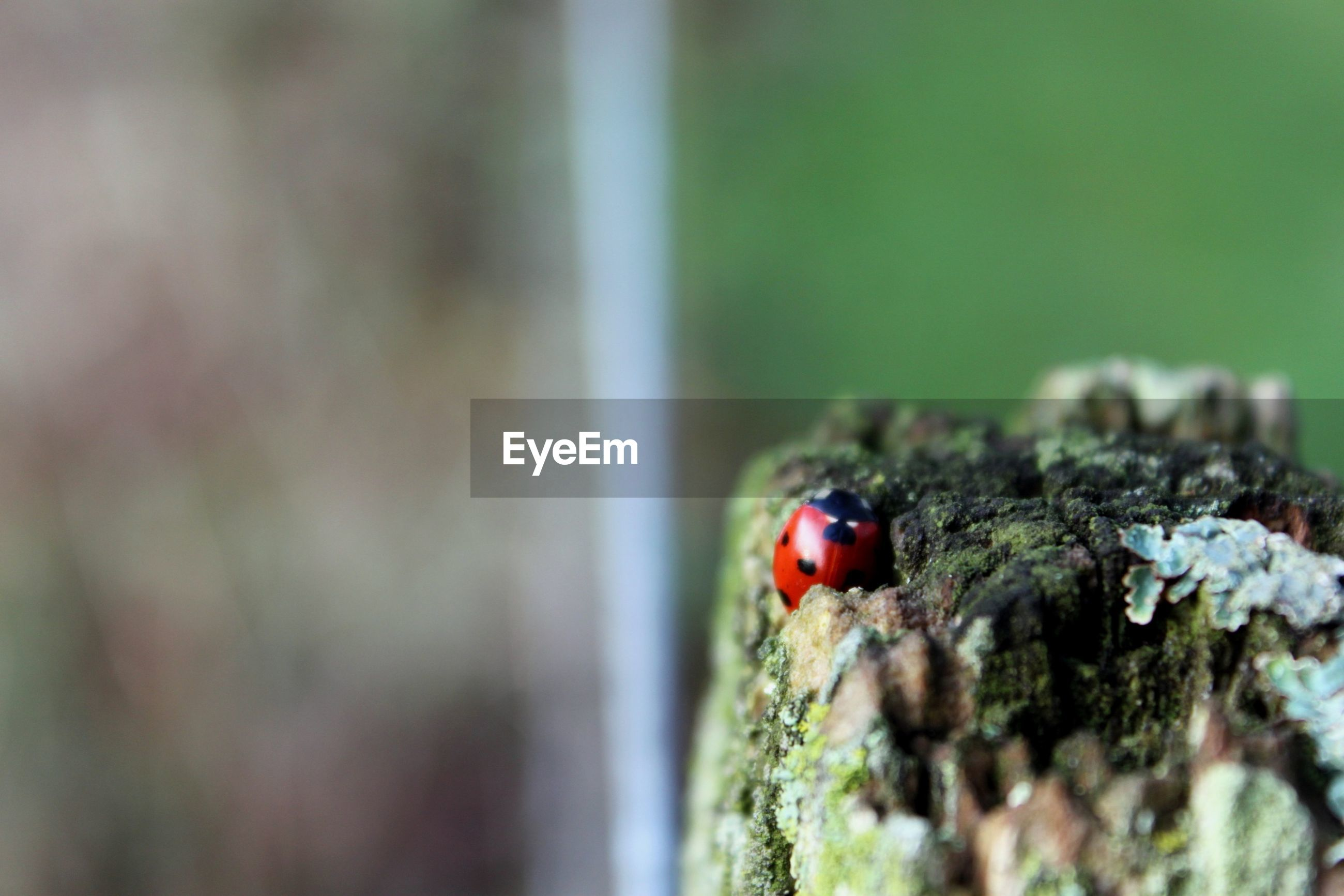 Close-up of a ladybug against blurred background