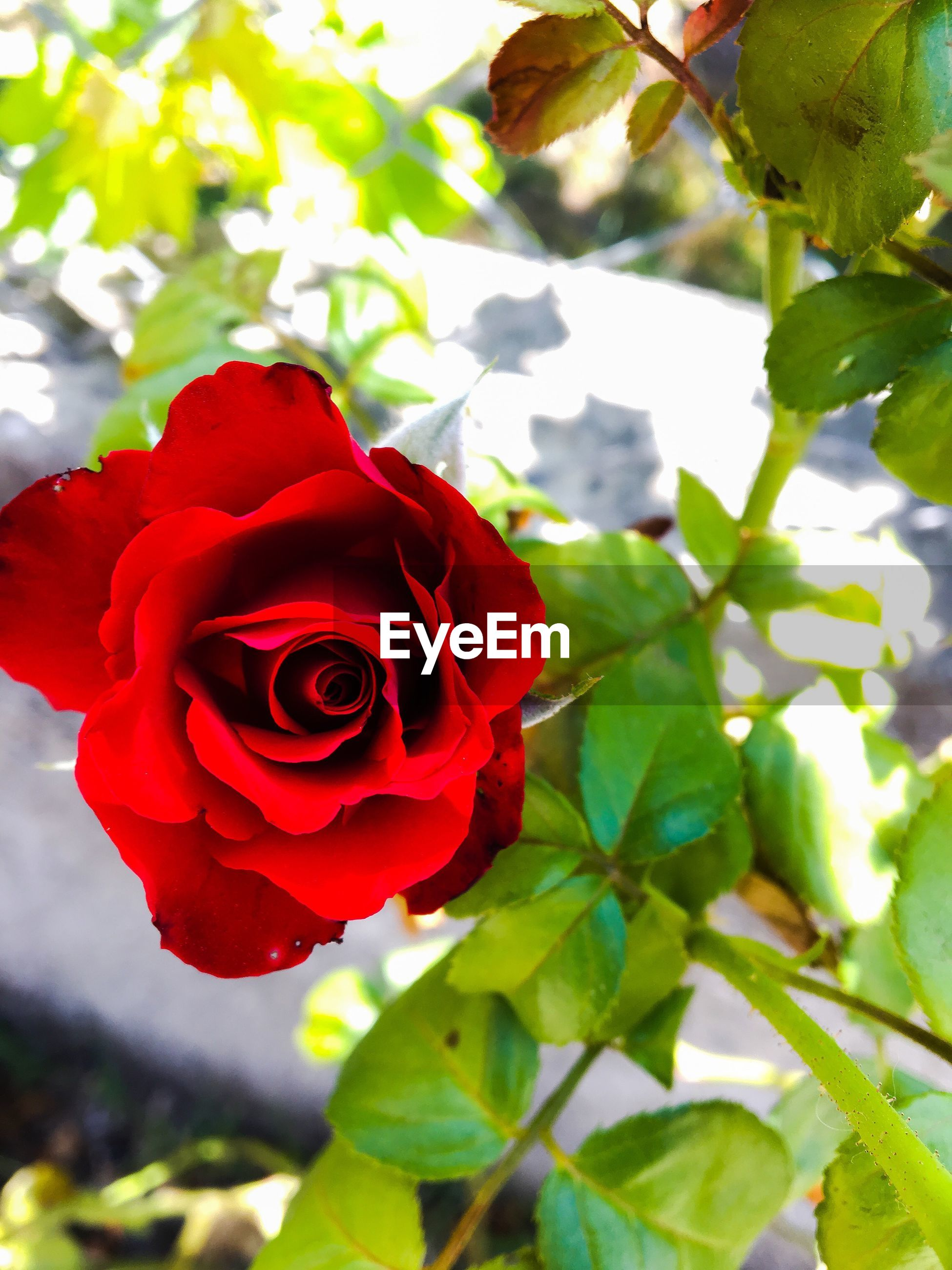 flower, rose - flower, petal, beauty in nature, fragility, growth, nature, red, freshness, plant, flower head, leaf, no people, focus on foreground, close-up, day, outdoors, blooming