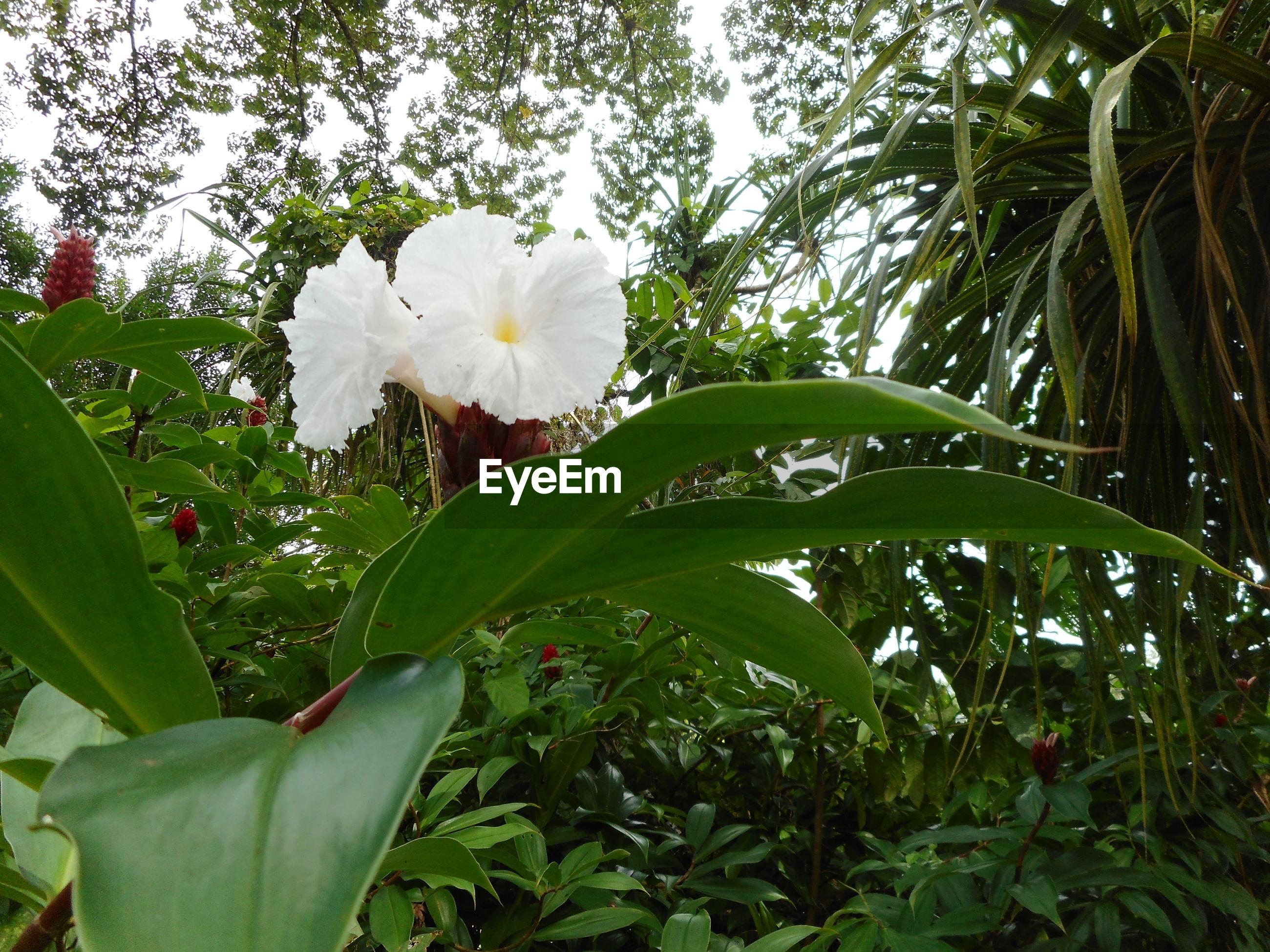 CLOSE-UP OF WHITE FRANGIPANI BLOOMING ON TREE