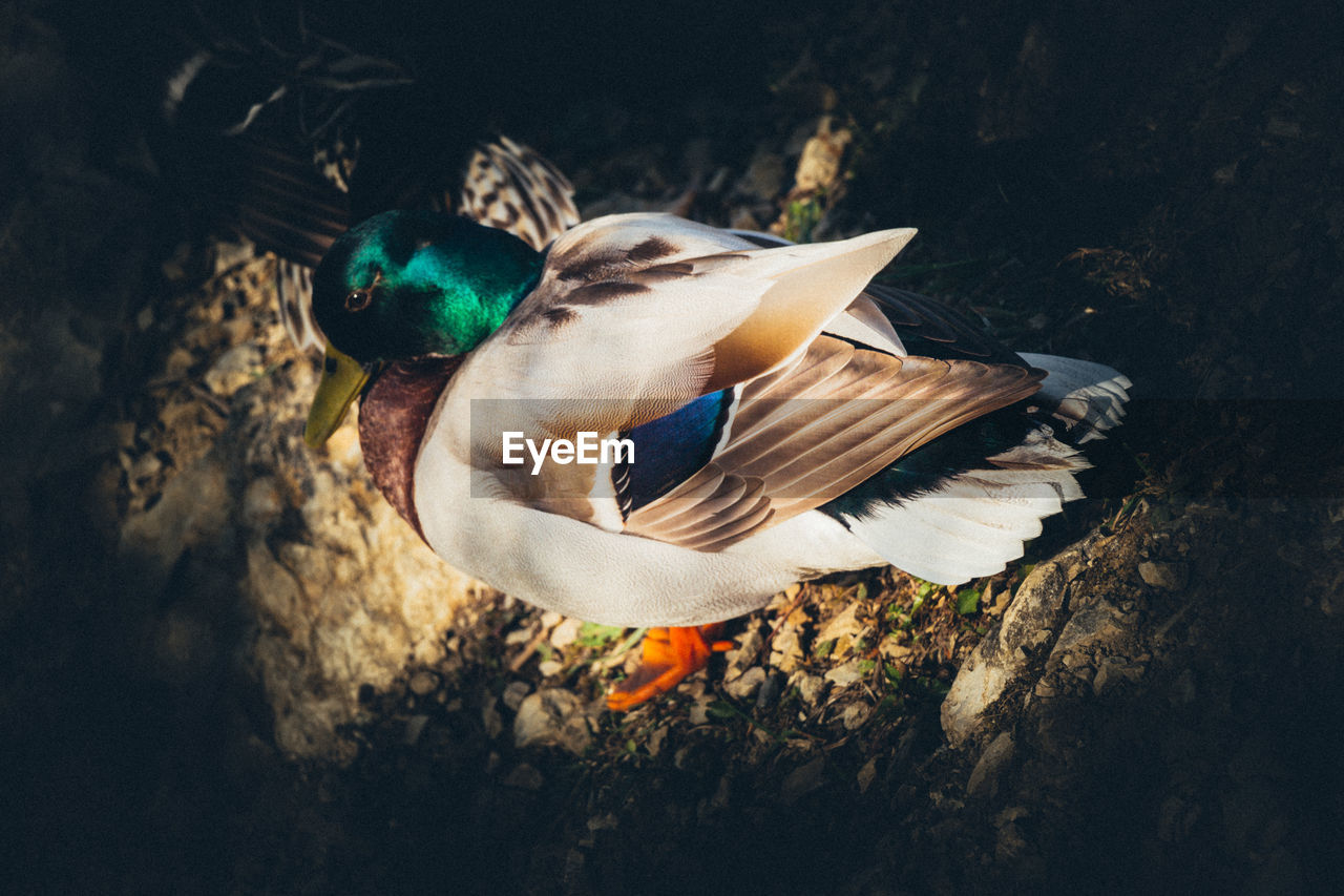 HIGH ANGLE VIEW OF A DUCK SWIMMING IN WATER