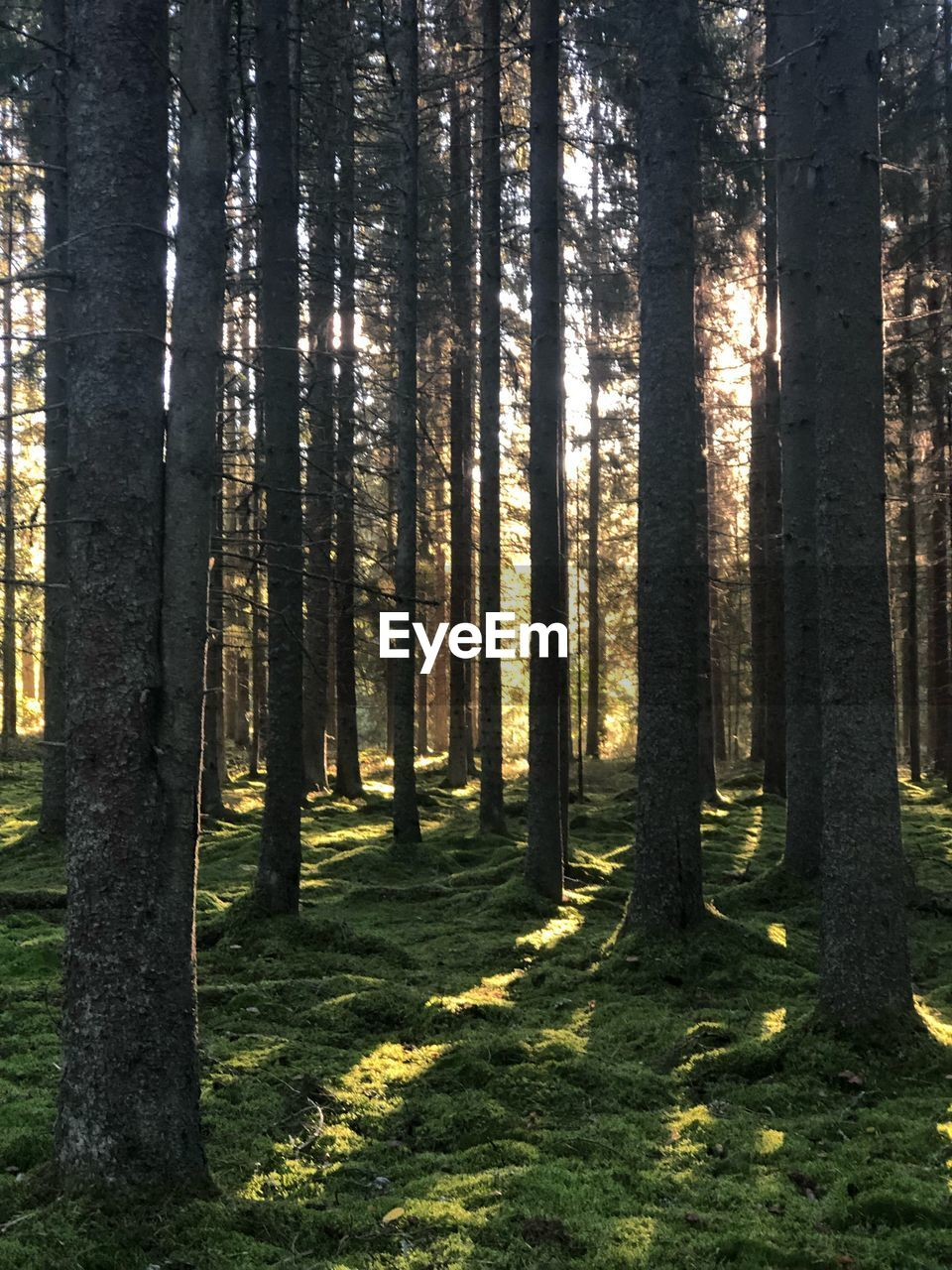 tree, forest, plant, land, trunk, tree trunk, woodland, growth, nature, beauty in nature, day, sunlight, tranquility, scenics - nature, no people, tranquil scene, non-urban scene, environment, landscape, outdoors, coniferous tree, pine woodland