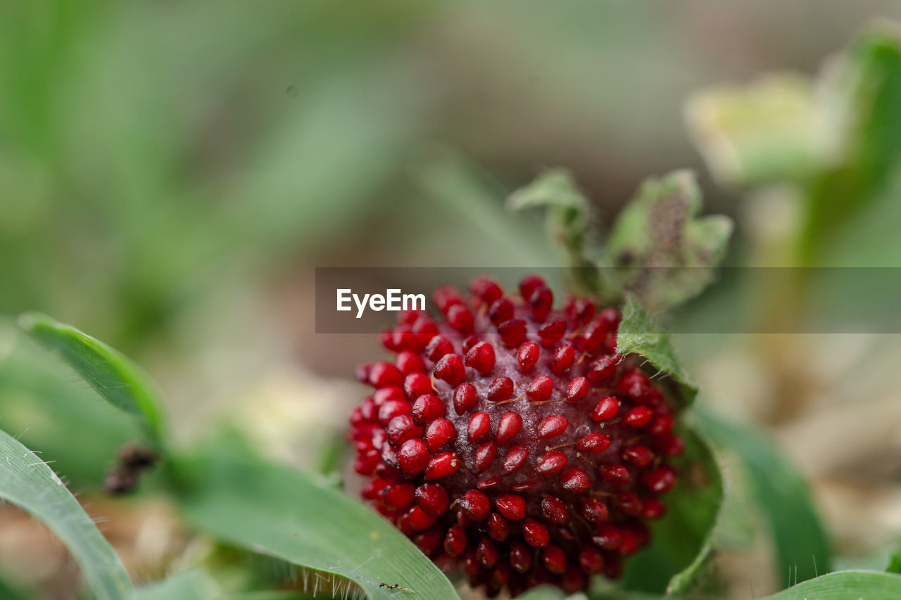 red, leaf, growth, close-up, plant part, freshness, healthy eating, food and drink, green color, fruit, beauty in nature, day, no people, selective focus, plant, food, berry fruit, nature, focus on foreground, wellbeing, outdoors, ripe, flower head