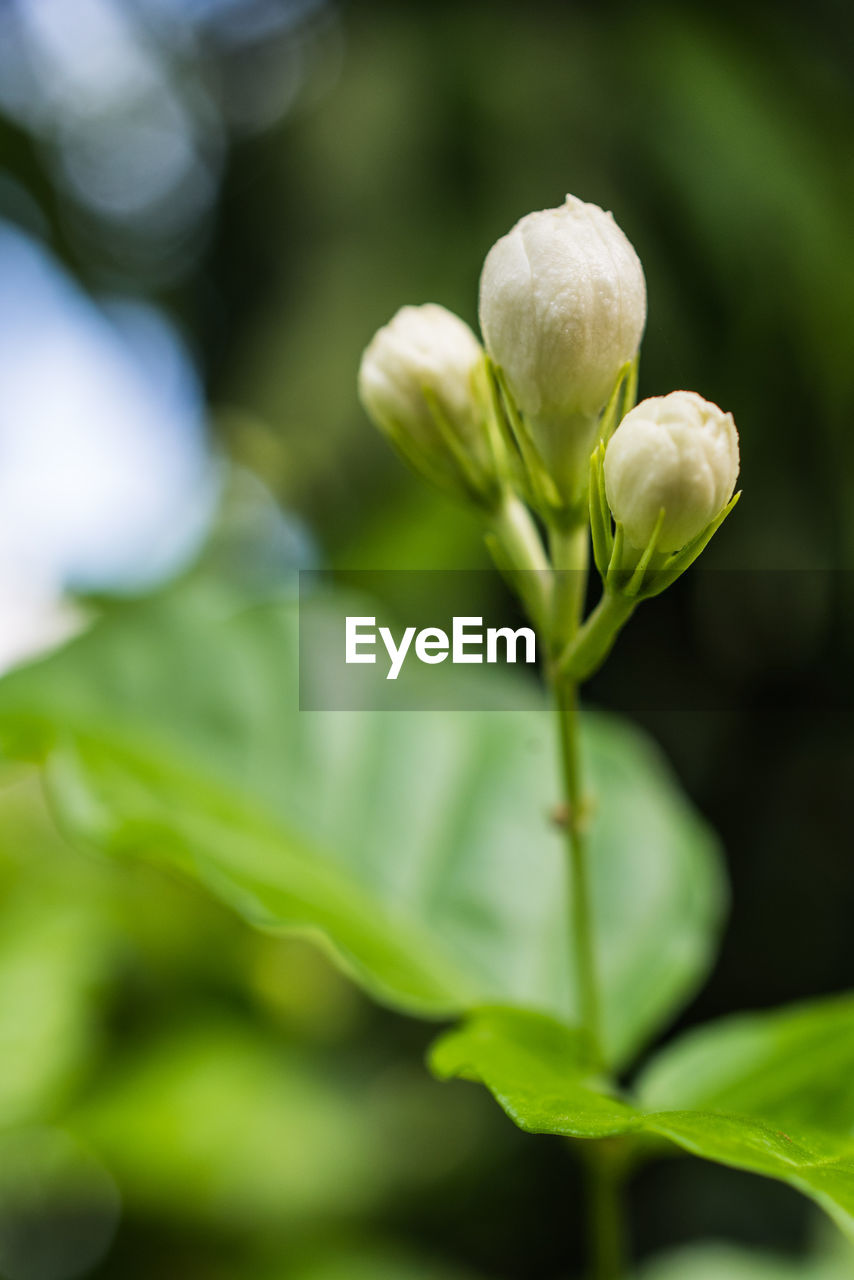 growth, nature, plant, flower, freshness, green color, fragility, beauty in nature, no people, petal, close-up, leaf, outdoors, day, snowdrop, flower head