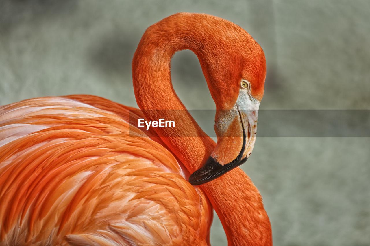 flamingo, animal themes, bird, animal, one animal, vertebrate, animal wildlife, animals in the wild, orange color, focus on foreground, beak, animal body part, no people, close-up, day, animal neck, nature, water, zoology, animal head, profile view