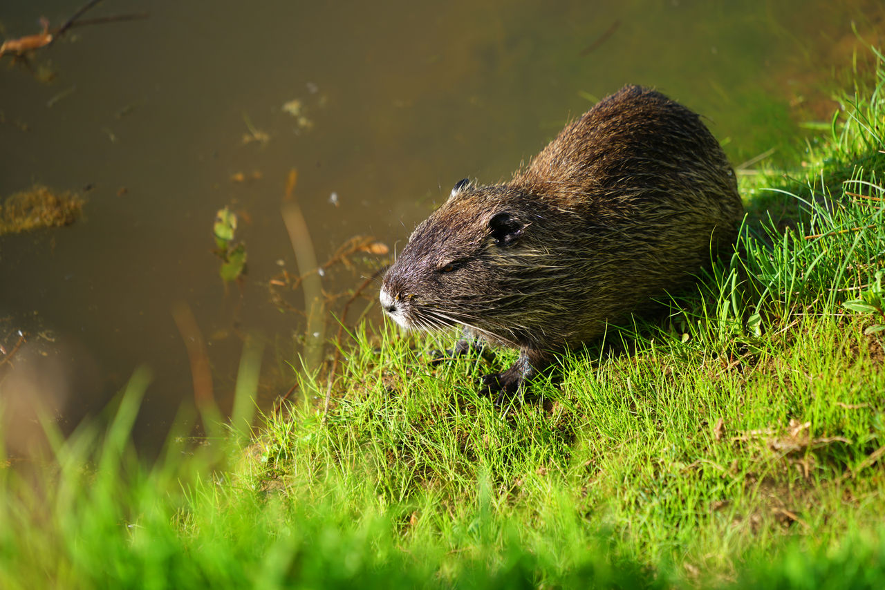 animal themes, one animal, animal wildlife, animal, animals in the wild, mammal, plant, grass, vertebrate, no people, nature, day, field, rodent, land, selective focus, green color, outdoors, sunlight, growth, whisker