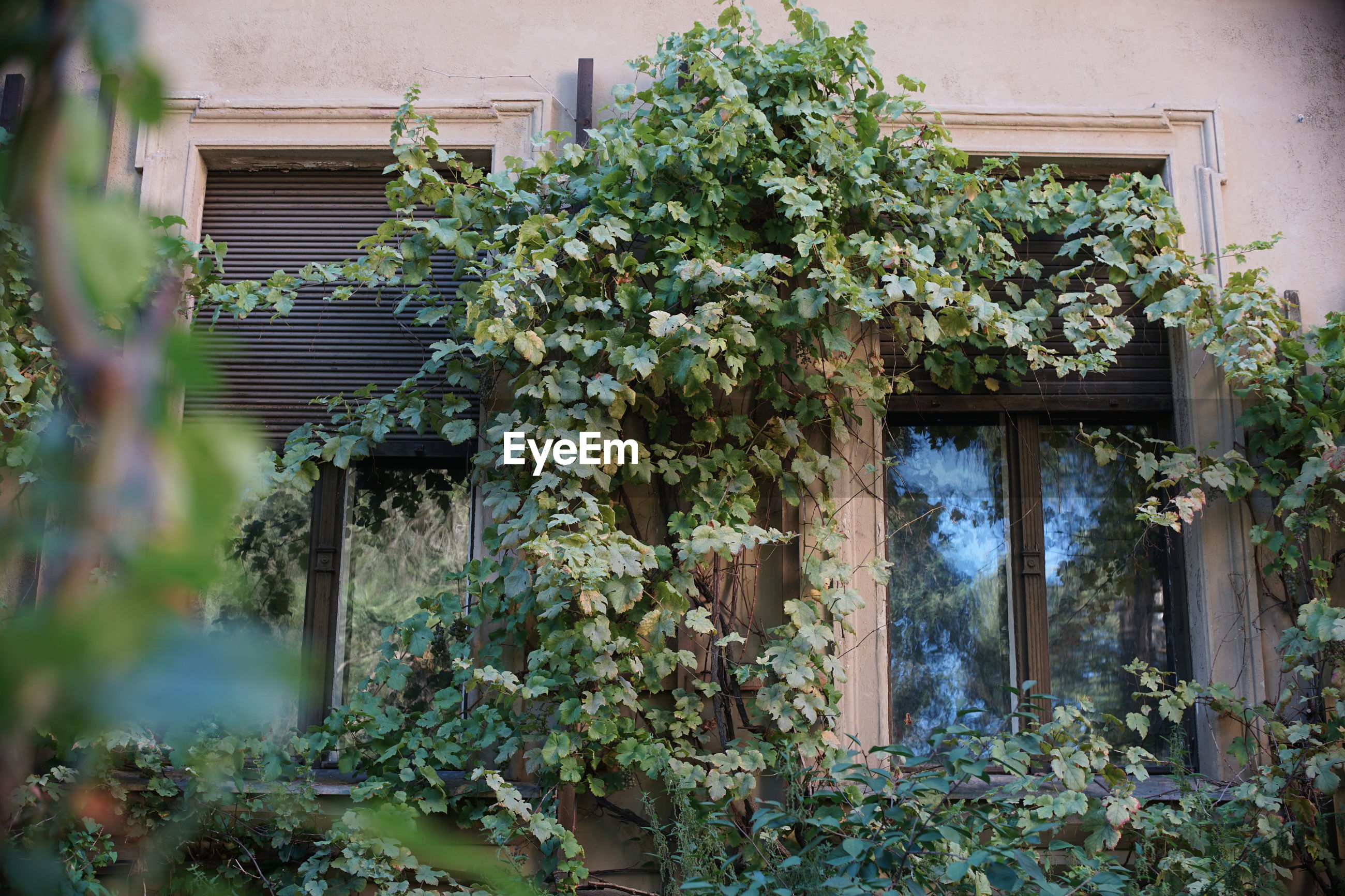 LOW ANGLE VIEW OF IVY GROWING ON TREE OUTSIDE BUILDING