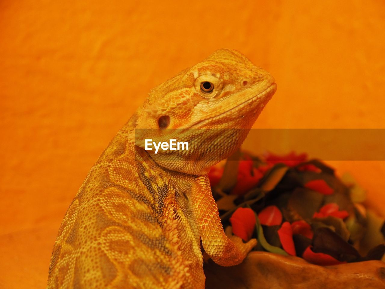 one animal, vertebrate, animal, animal themes, reptile, animals in the wild, close-up, animal wildlife, lizard, orange color, no people, nature, focus on foreground, flower, animal body part, bearded dragon, flowering plant, indoors, animal head, beauty in nature, animal scale