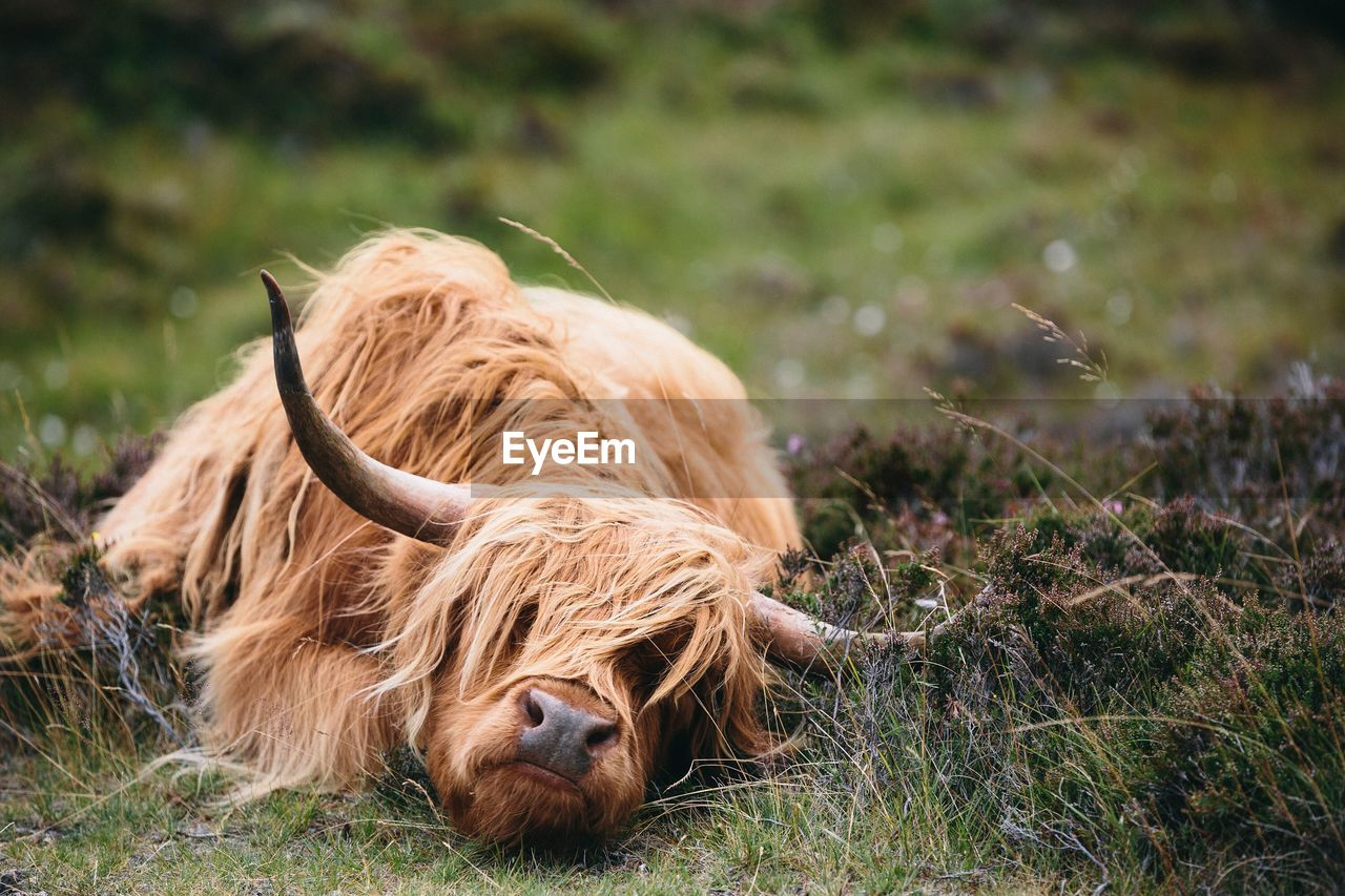 animal, mammal, animal themes, field, one animal, highland cattle, domestic animals, horned, pets, domestic, land, vertebrate, domestic cattle, animal hair, cattle, brown, grass, livestock, plant, nature, hair, no people, herbivorous