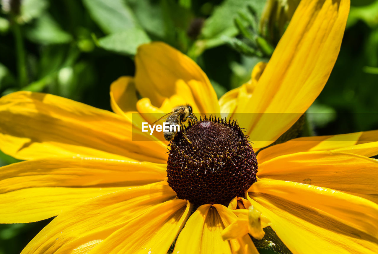 flower, yellow, one animal, petal, fragility, animal themes, insect, animals in the wild, freshness, nature, pollen, growth, beauty in nature, flower head, animal wildlife, day, no people, plant, outdoors, close-up, focus on foreground, pollination, bee, blooming, black-eyed susan