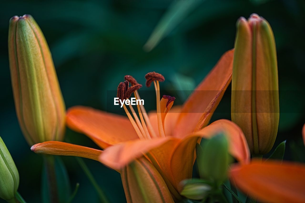CLOSE-UP OF ORANGE LILY FLOWERS