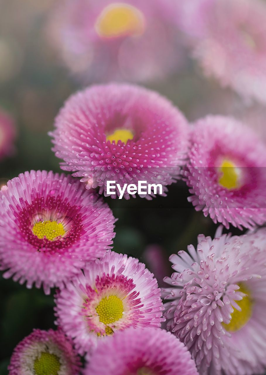 flower, flowering plant, plant, vulnerability, freshness, pink color, fragility, close-up, growth, beauty in nature, flower head, inflorescence, petal, selective focus, nature, no people, focus on foreground, pollen, day, outdoors, purple, flower arrangement