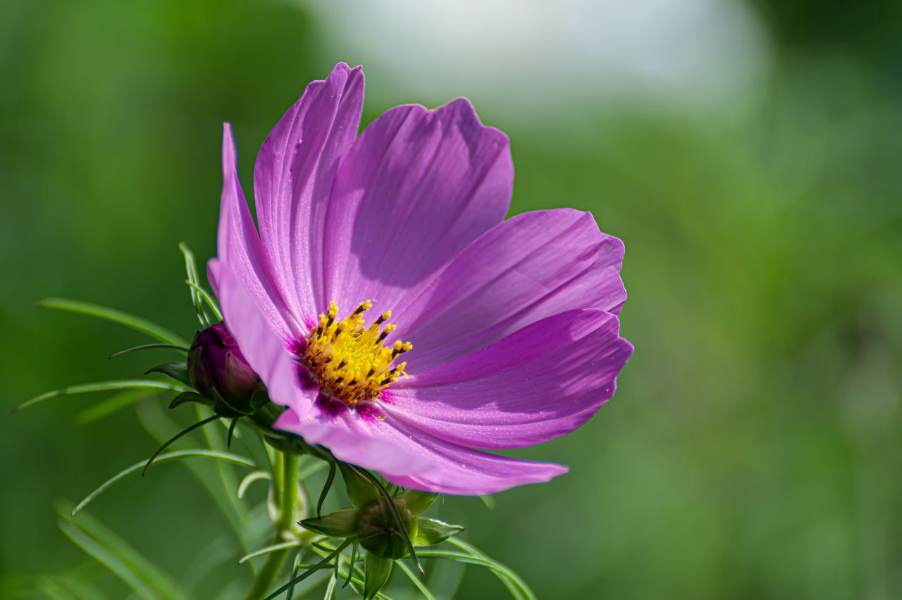 flowering plant, flower, fragility, vulnerability, freshness, beauty in nature, petal, plant, flower head, inflorescence, growth, close-up, pollen, nature, pink color, day, no people, focus on foreground, cosmos flower, outdoors, purple, gazania