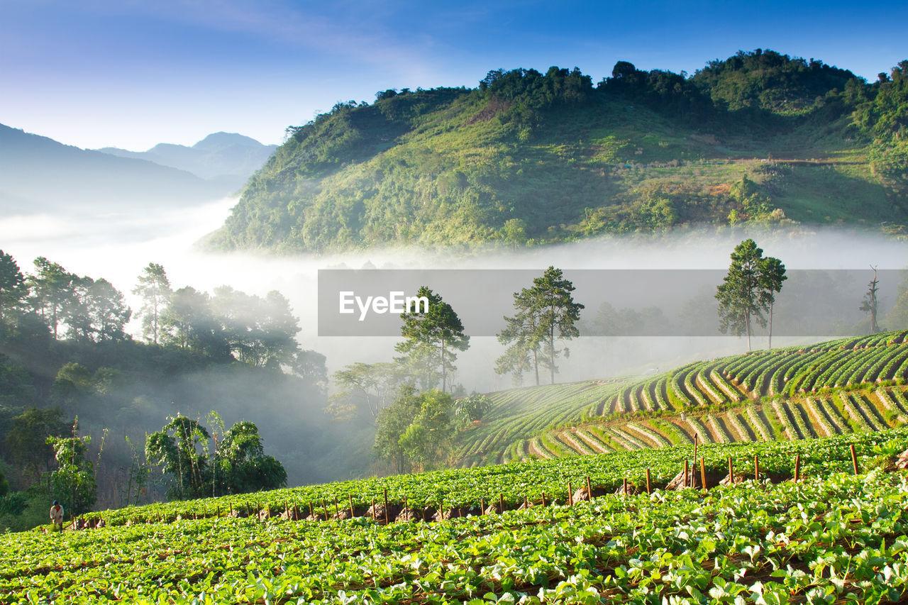High angle view of tea farm