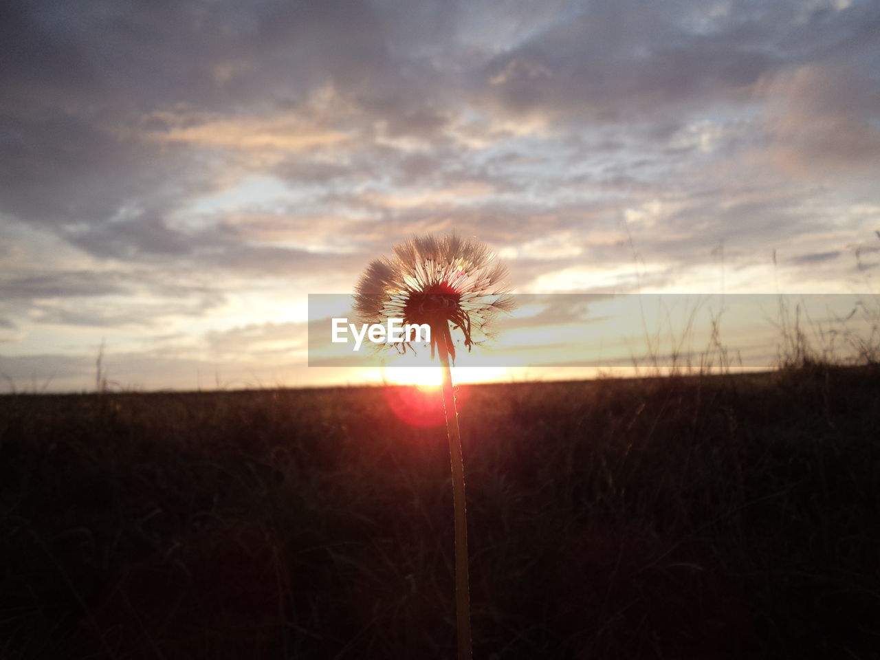 sunset, field, flower, nature, growth, beauty in nature, sky, silhouette, landscape, outdoors, tranquility, dusk, plant, tranquil scene, sun, fragility, cloud - sky, no people, grass, rural scene, scenics, flower head, freshness, close-up, day