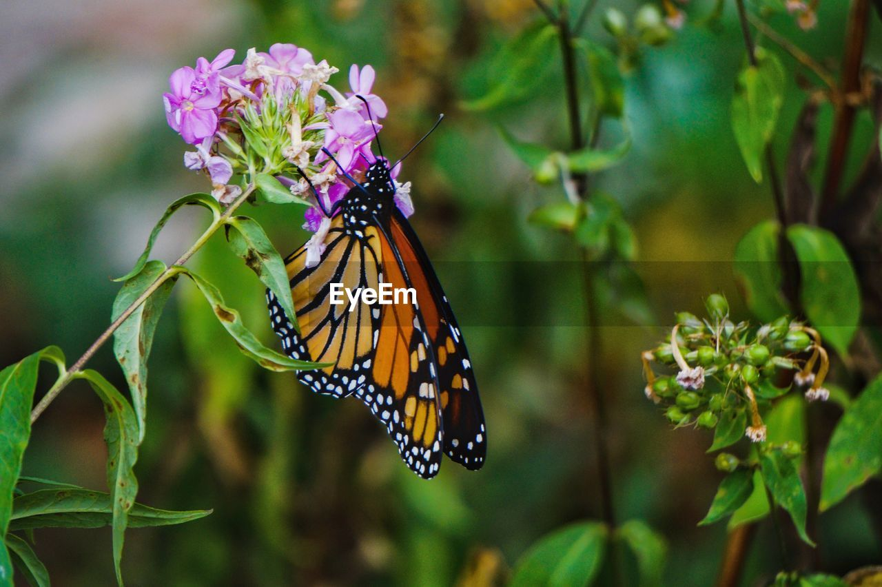 insect, butterfly - insect, animals in the wild, animal themes, flower, one animal, nature, fragility, growth, beauty in nature, focus on foreground, plant, no people, day, butterfly, animal wildlife, close-up, outdoors, freshness, animal markings, flower head, pollination, spread wings