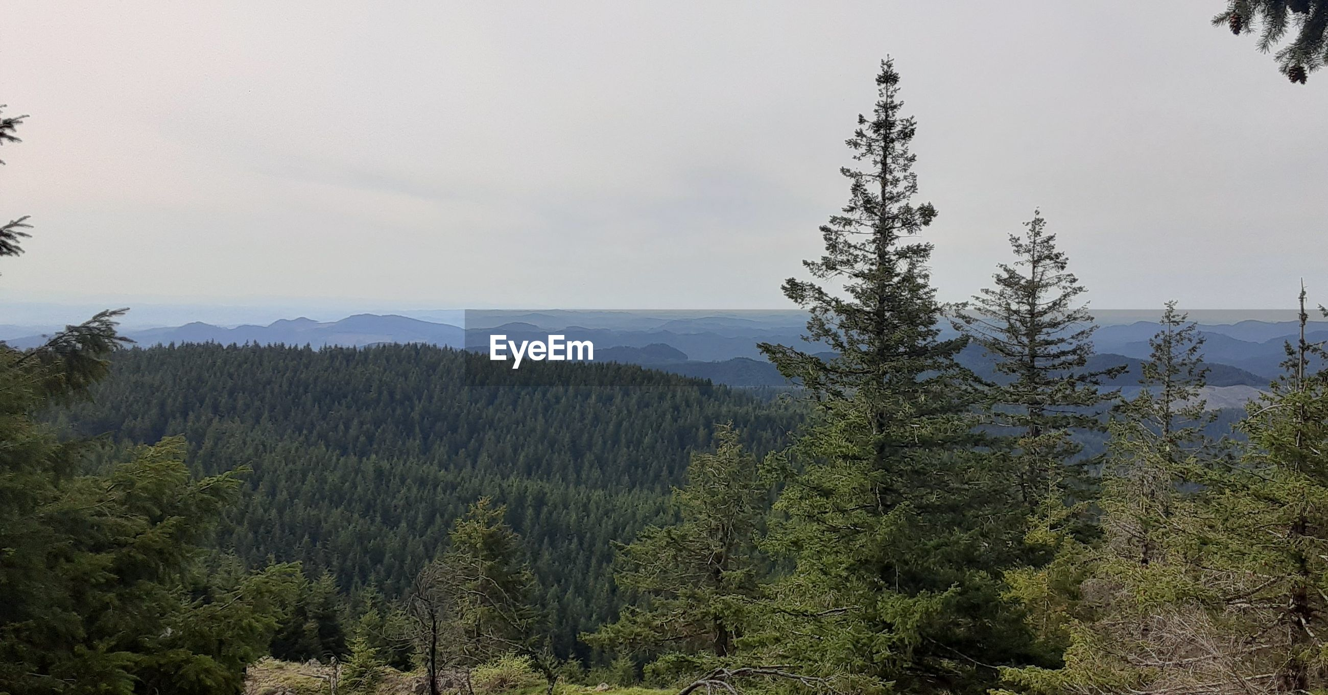 VIEW OF PINE TREES IN FOREST