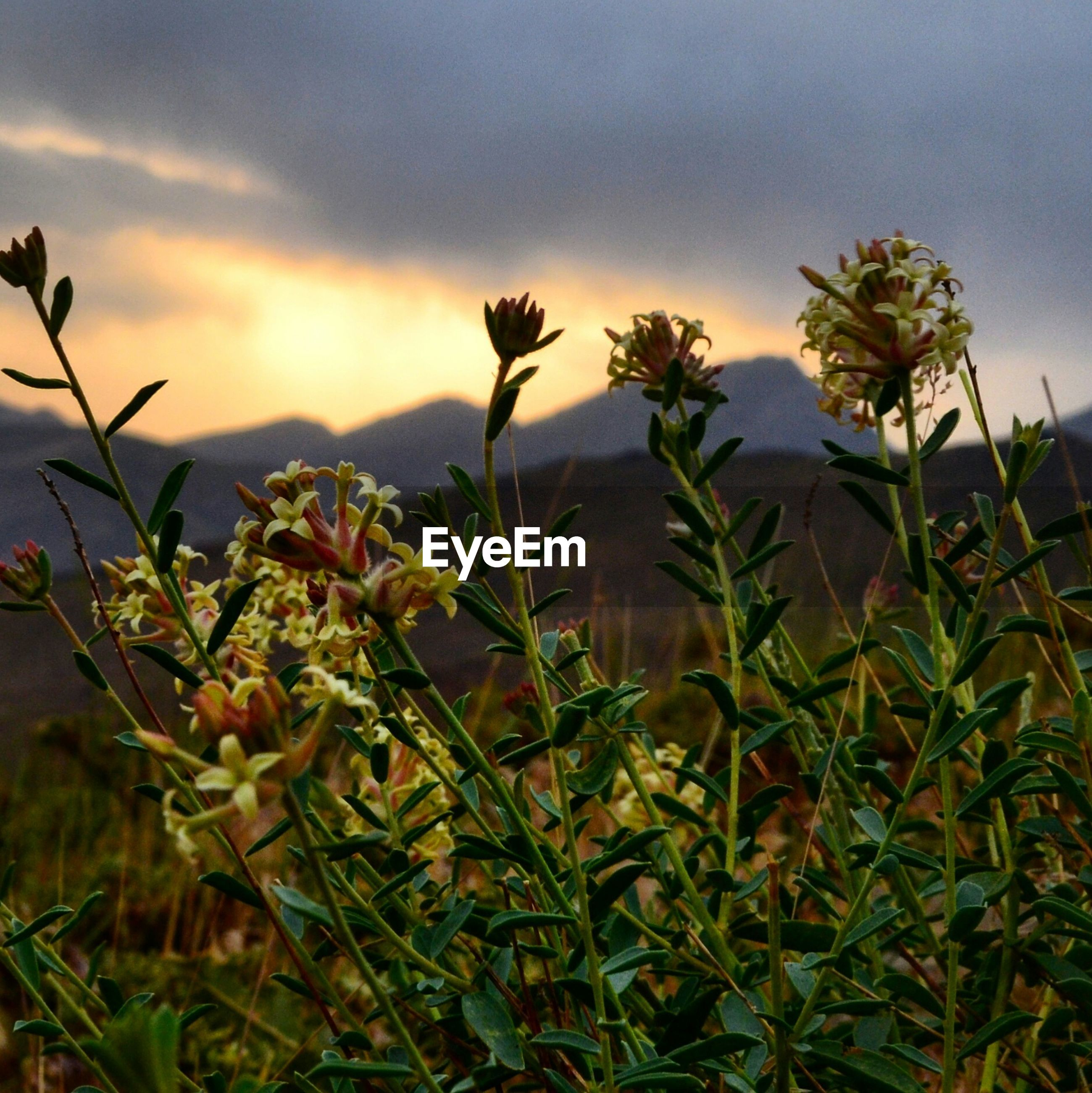 sky, growth, plant, beauty in nature, cloud - sky, nature, flower, leaf, freshness, cloudy, cloud, tranquility, sunset, low angle view, field, stem, tranquil scene, fragility, scenics, green color