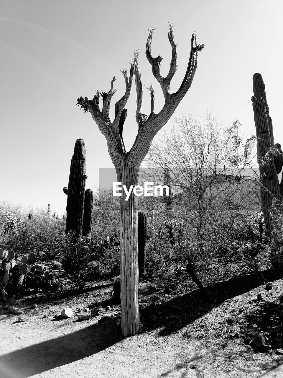 plant, tree, sky, nature, day, cactus, landscape, field, succulent plant, tranquility, land, no people, growth, environment, saguaro cactus, bare tree, clear sky, outdoors, non-urban scene, tranquil scene, dead plant, arid climate