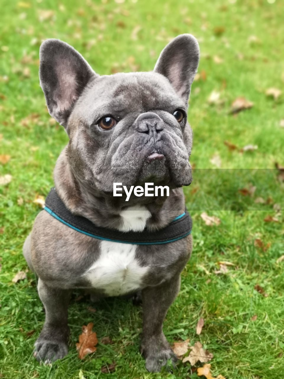 one animal, dog, canine, mammal, animal themes, domestic animals, grass, animal, pets, domestic, french bulldog, portrait, plant, no people, nature, close-up, vertebrate, day, focus on foreground, field, small, outdoors, animal head