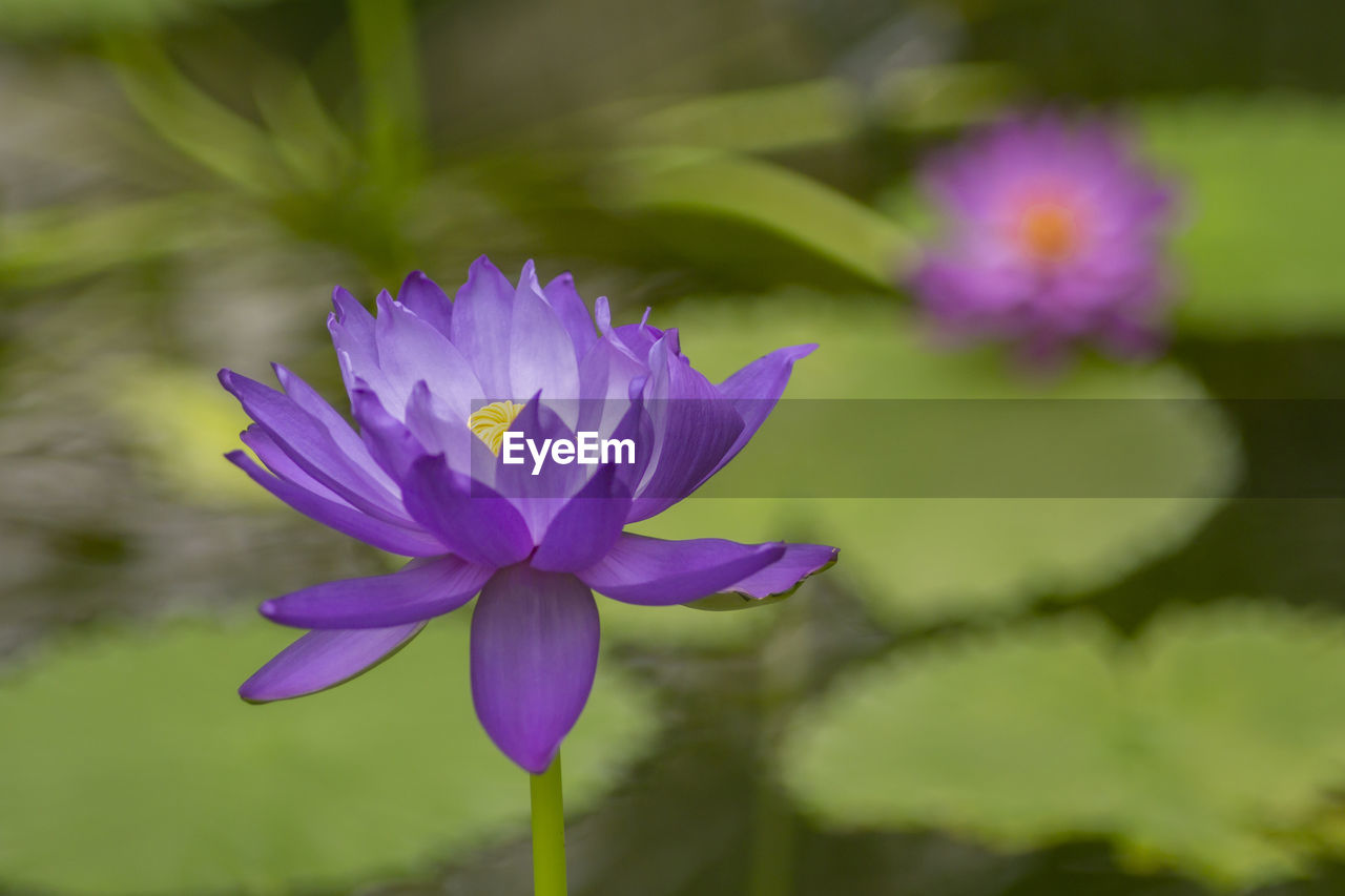 flowering plant, flower, vulnerability, freshness, fragility, beauty in nature, petal, plant, close-up, purple, inflorescence, flower head, growth, nature, day, no people, focus on foreground, leaf, water lily, springtime, pollen, softness