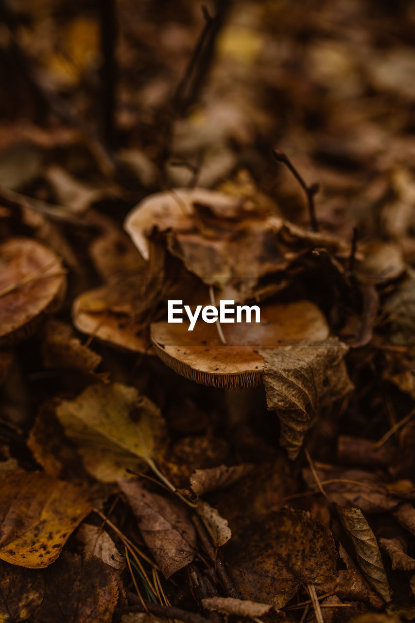 CLOSE-UP OF DRIED MUSHROOM GROWING IN FOREST