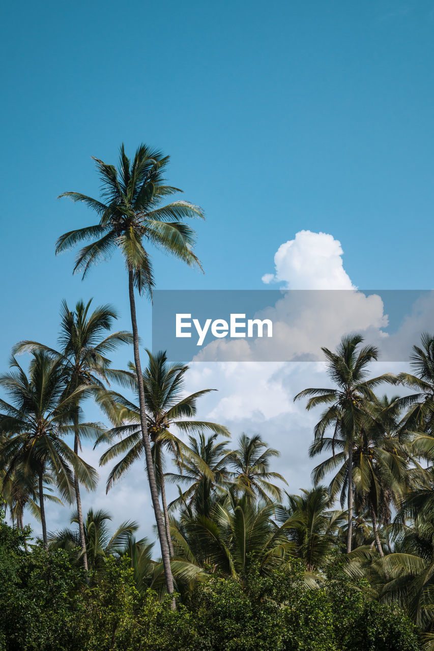 plant, tropical climate, palm tree, tree, sky, growth, beauty in nature, tranquility, scenics - nature, tranquil scene, nature, no people, cloud - sky, low angle view, day, blue, green color, land, outdoors, non-urban scene, coconut palm tree, tropical tree, palm leaf