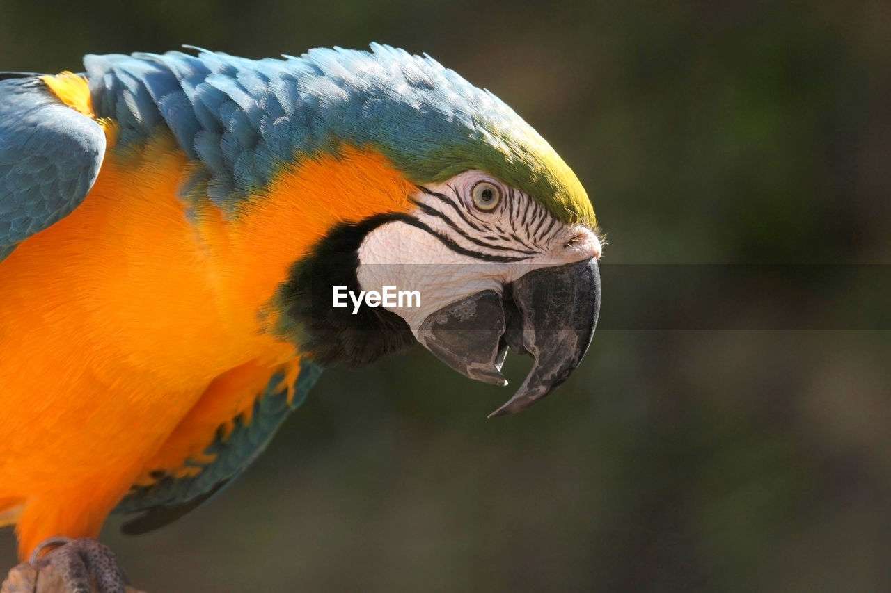 animal, animal themes, animal wildlife, animals in the wild, bird, vertebrate, one animal, parrot, macaw, focus on foreground, close-up, no people, beak, gold and blue macaw, nature, day, animal body part, beauty in nature, orange color, multi colored, animal head