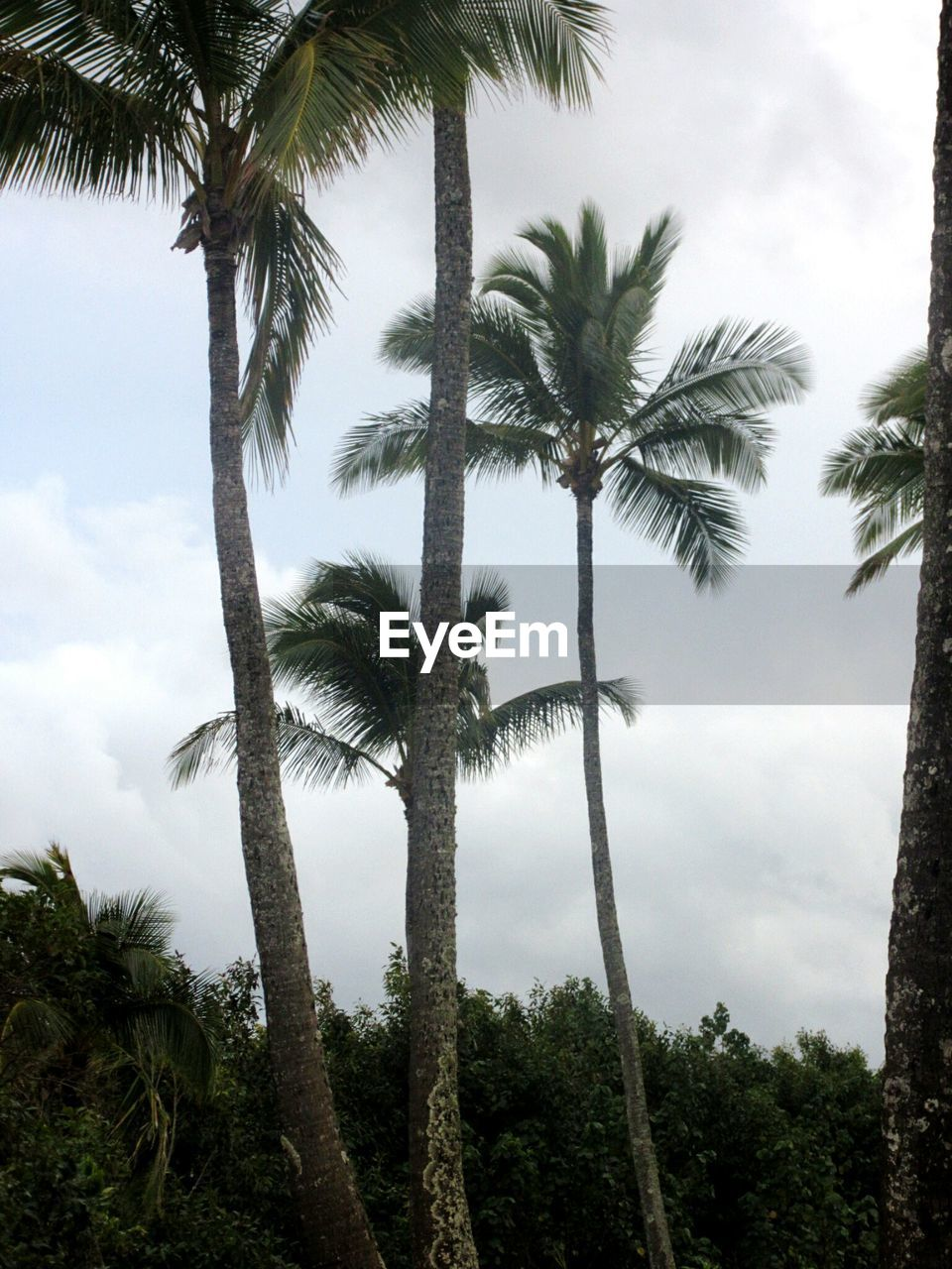 palm tree, tree, tree trunk, low angle view, sky, growth, nature, tropical climate, day, beauty in nature, tranquility, cloud - sky, tranquil scene, scenics, no people, outdoors, tall, forest, landscape