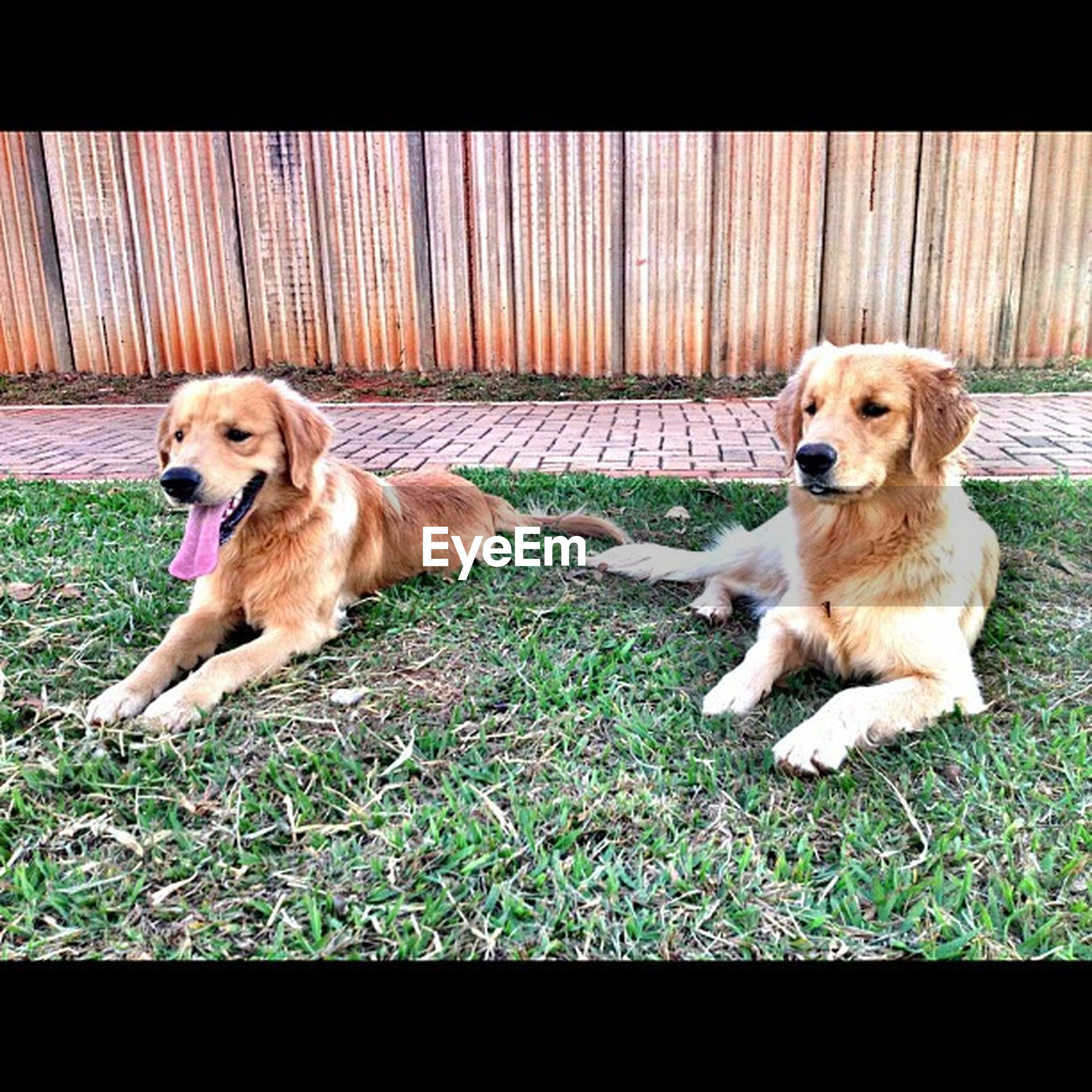 dog, pets, animal themes, domestic animals, mammal, one animal, pet collar, full length, sitting, two animals, grass, relaxation, high angle view, no people, looking at camera, outdoors, day, field, canine, zoology