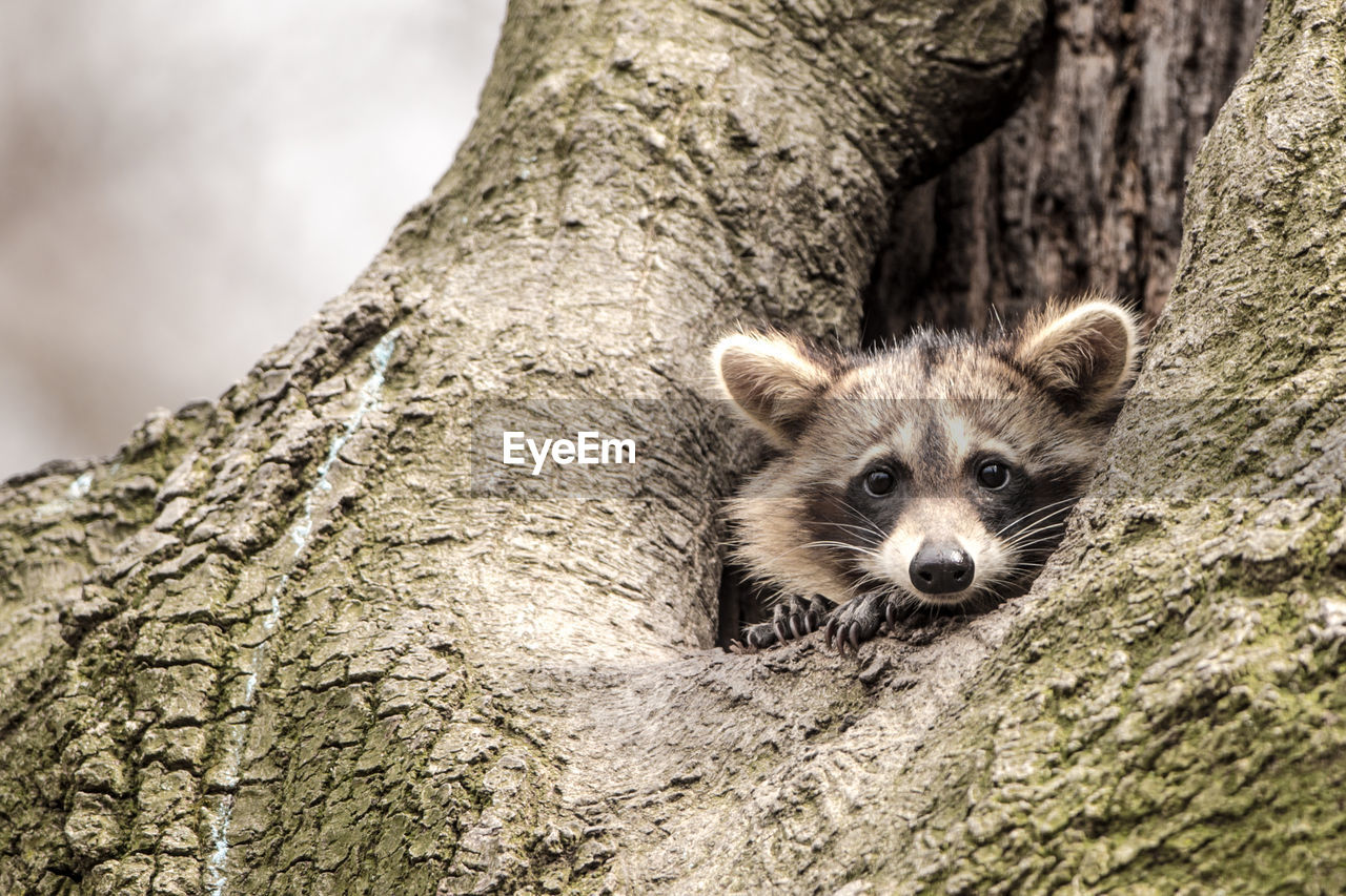 animal, one animal, animal themes, tree, animal wildlife, tree trunk, mammal, animals in the wild, trunk, raccoon, no people, nature, plant, portrait, vertebrate, looking at camera, day, outdoors, focus on foreground, close-up, animal head