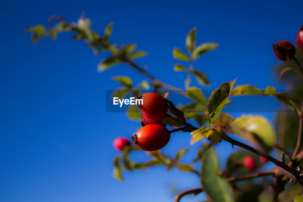 fruit, healthy eating, food and drink, food, growth, red, plant, beauty in nature, no people, freshness, nature, close-up, blue, wellbeing, selective focus, low angle view, day, berry fruit, sky, tree, rowanberry, ripe