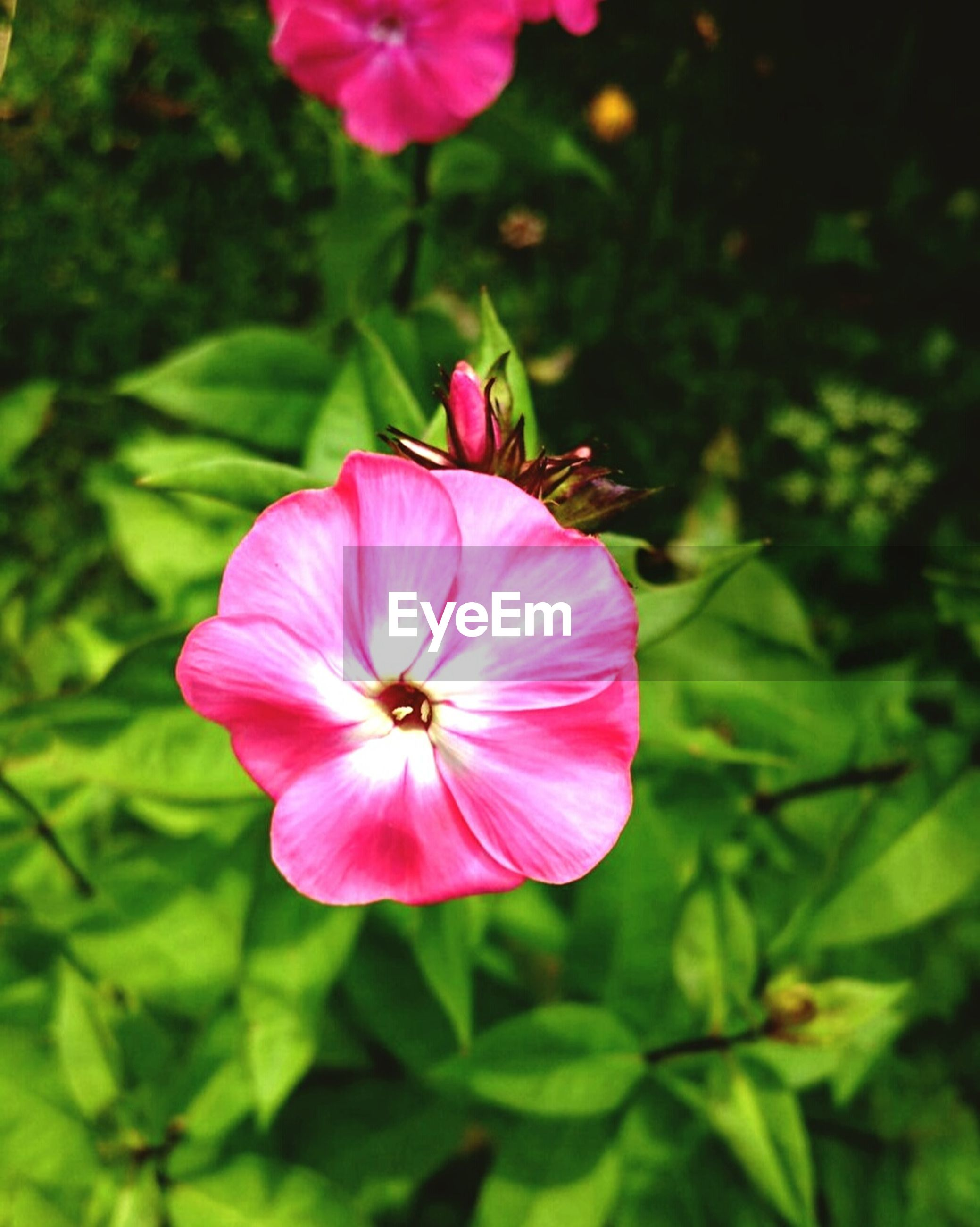flower, petal, freshness, flower head, fragility, growth, beauty in nature, pink color, close-up, blooming, focus on foreground, nature, plant, pollen, stamen, in bloom, day, outdoors, no people, blossom, green color, botany, selective focus, softness, tranquility