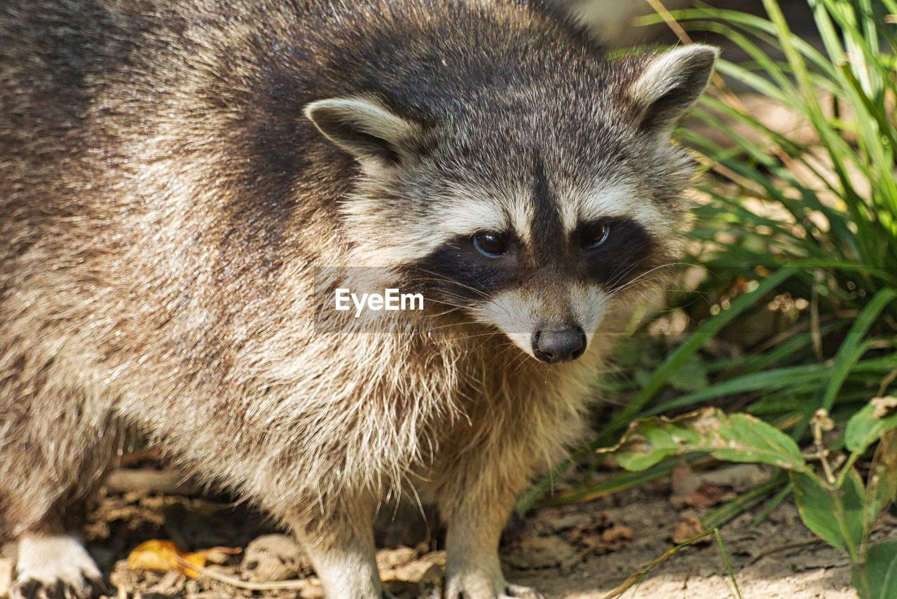 animal themes, animal, one animal, mammal, animal wildlife, animals in the wild, raccoon, portrait, no people, close-up, nature, vertebrate, standing, day, looking at camera, animal body part, looking, focus on foreground, land, outdoors, animal head, whisker
