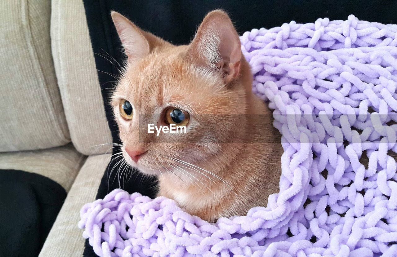Close-Up Of Kitten Looking Away And Wrapped In A Purple Blanket