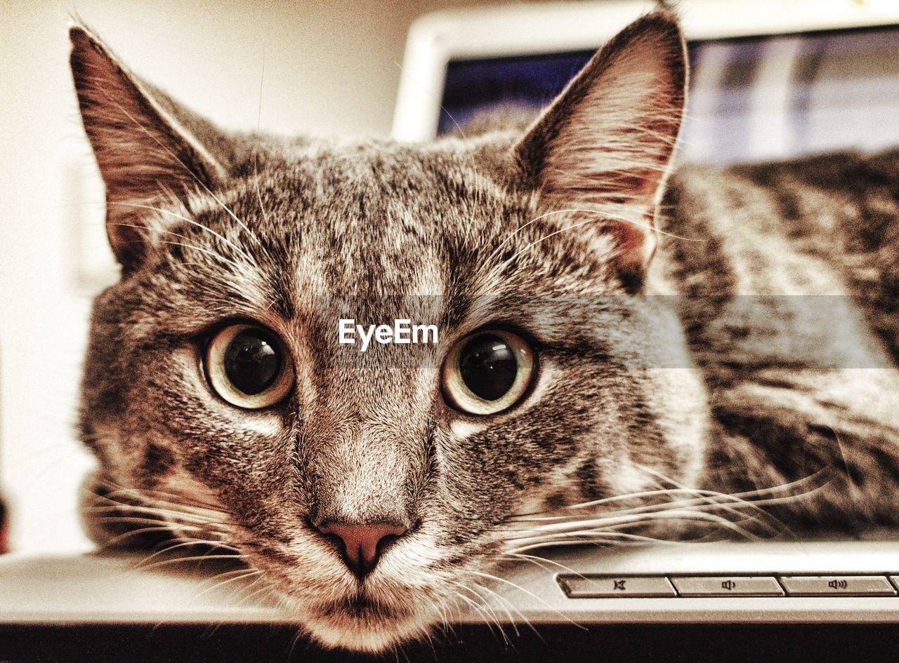 Close-up portrait of cat on laptop