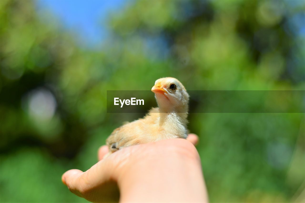 animal themes, bird, vertebrate, animal, one animal, human hand, one person, human body part, animal wildlife, hand, animals in the wild, young bird, real people, day, young animal, unrecognizable person, focus on foreground, close-up, holding, body part, finger, outdoors, beak, small, human limb