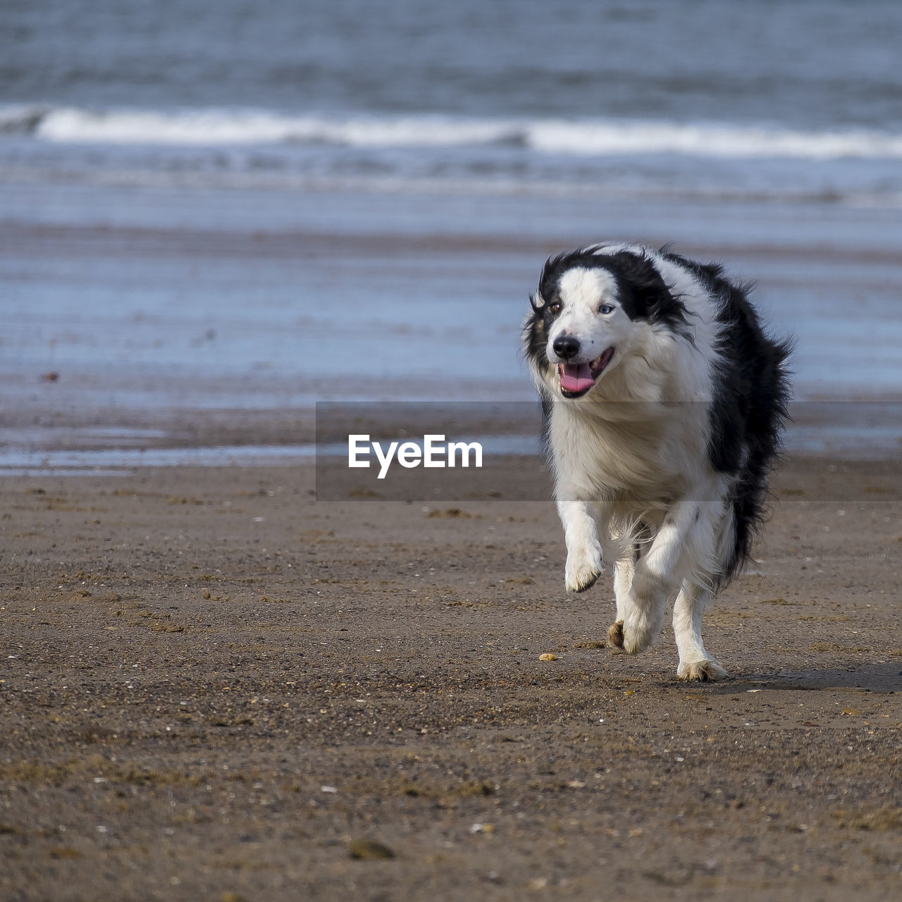 one animal, dog, canine, domestic, pets, animal themes, mammal, animal, domestic animals, beach, land, water, sand, sea, vertebrate, running, motion, no people, day, border collie, outdoors, mouth open, animal mouth