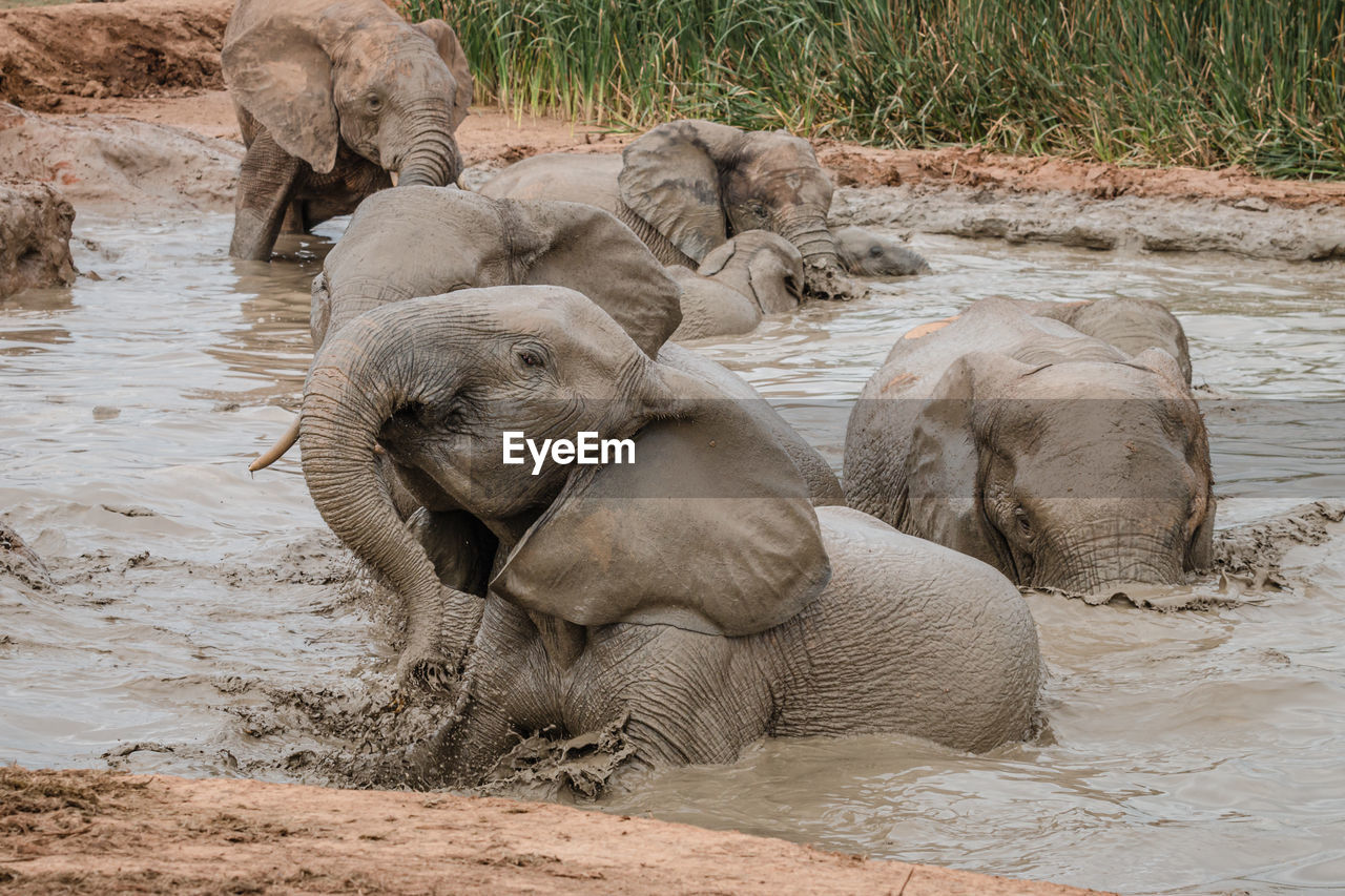 VIEW OF ELEPHANT DRINKING WATER IN LAND