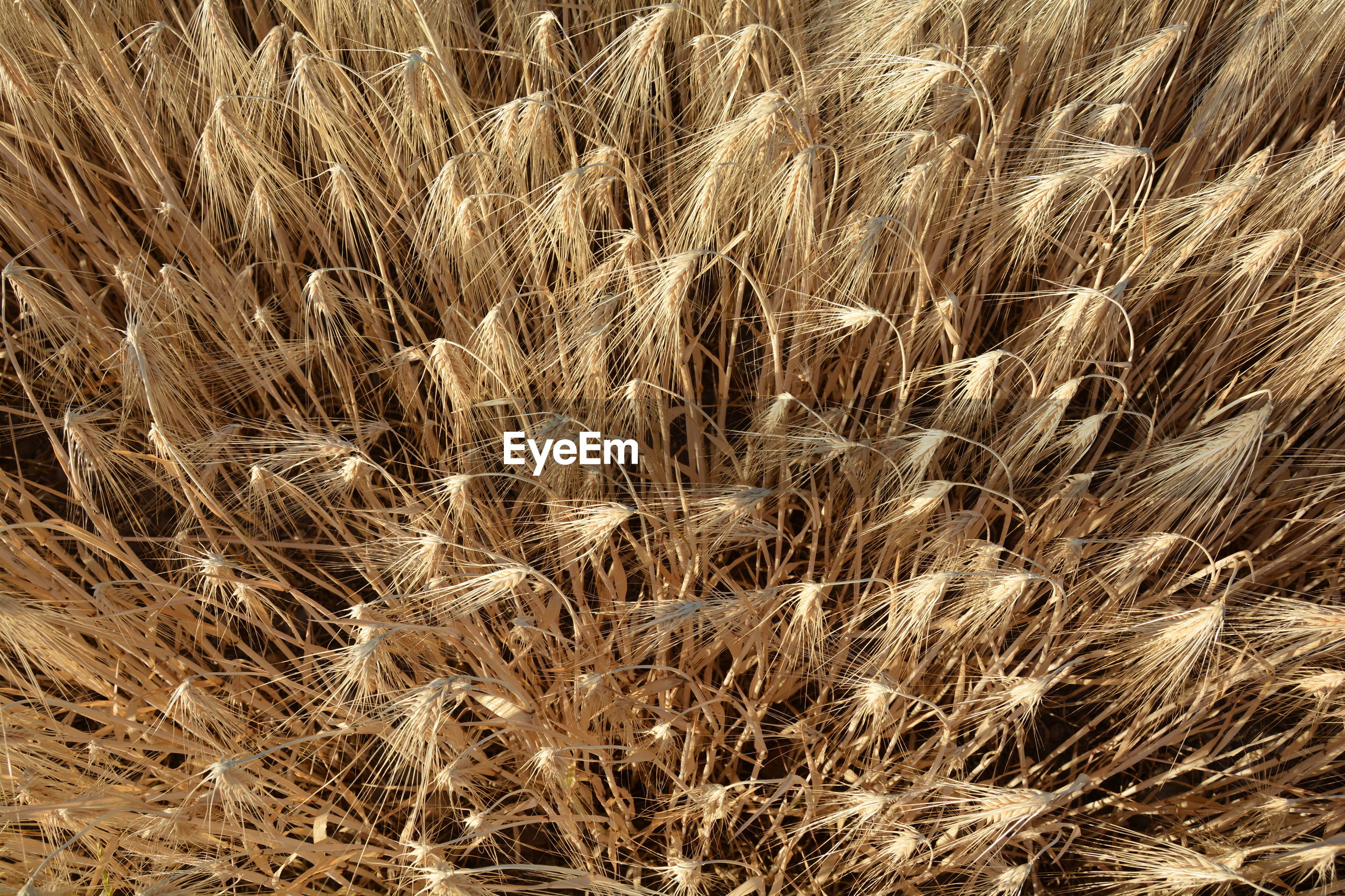 Directly above view of wheat field