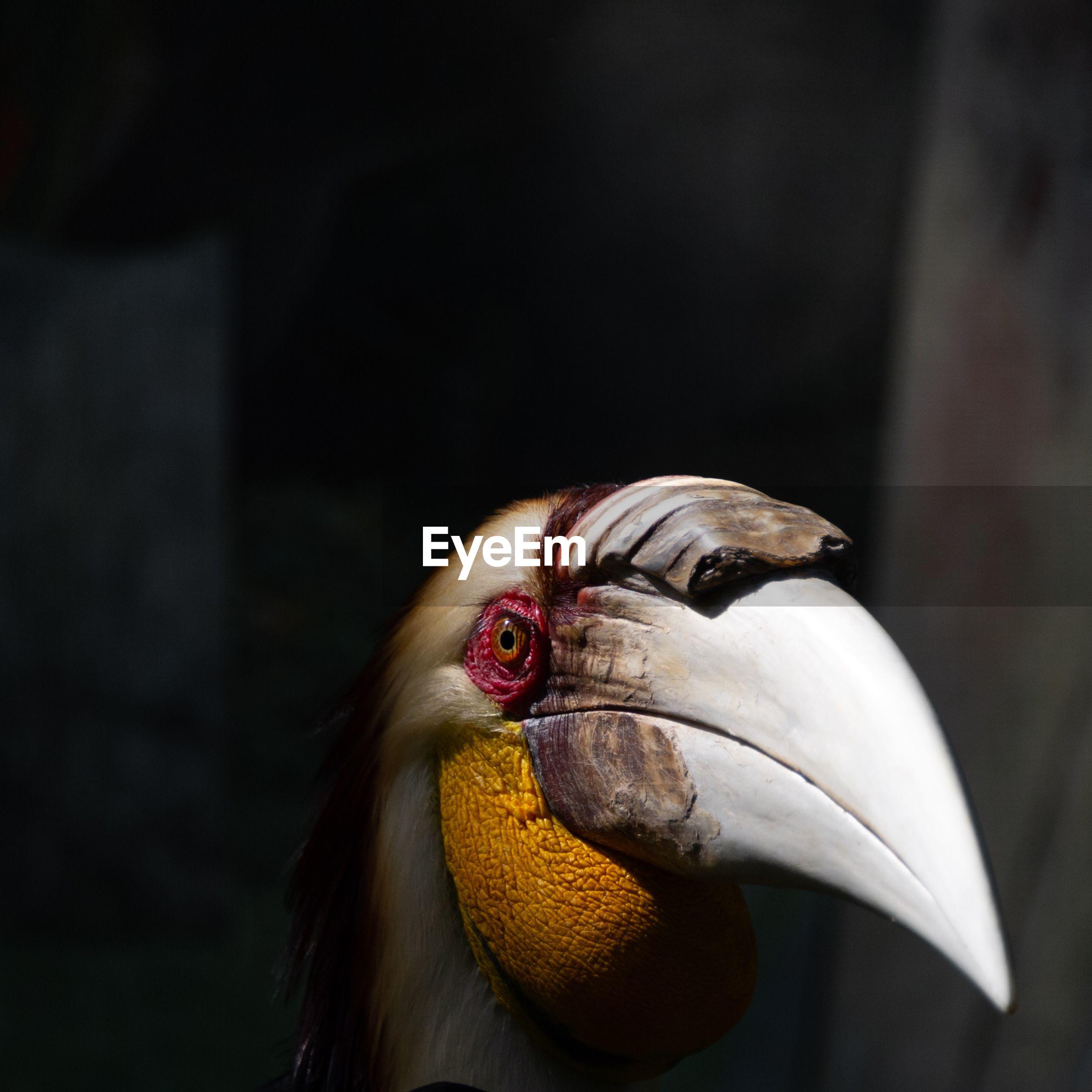 Close-up of a hornbill bird