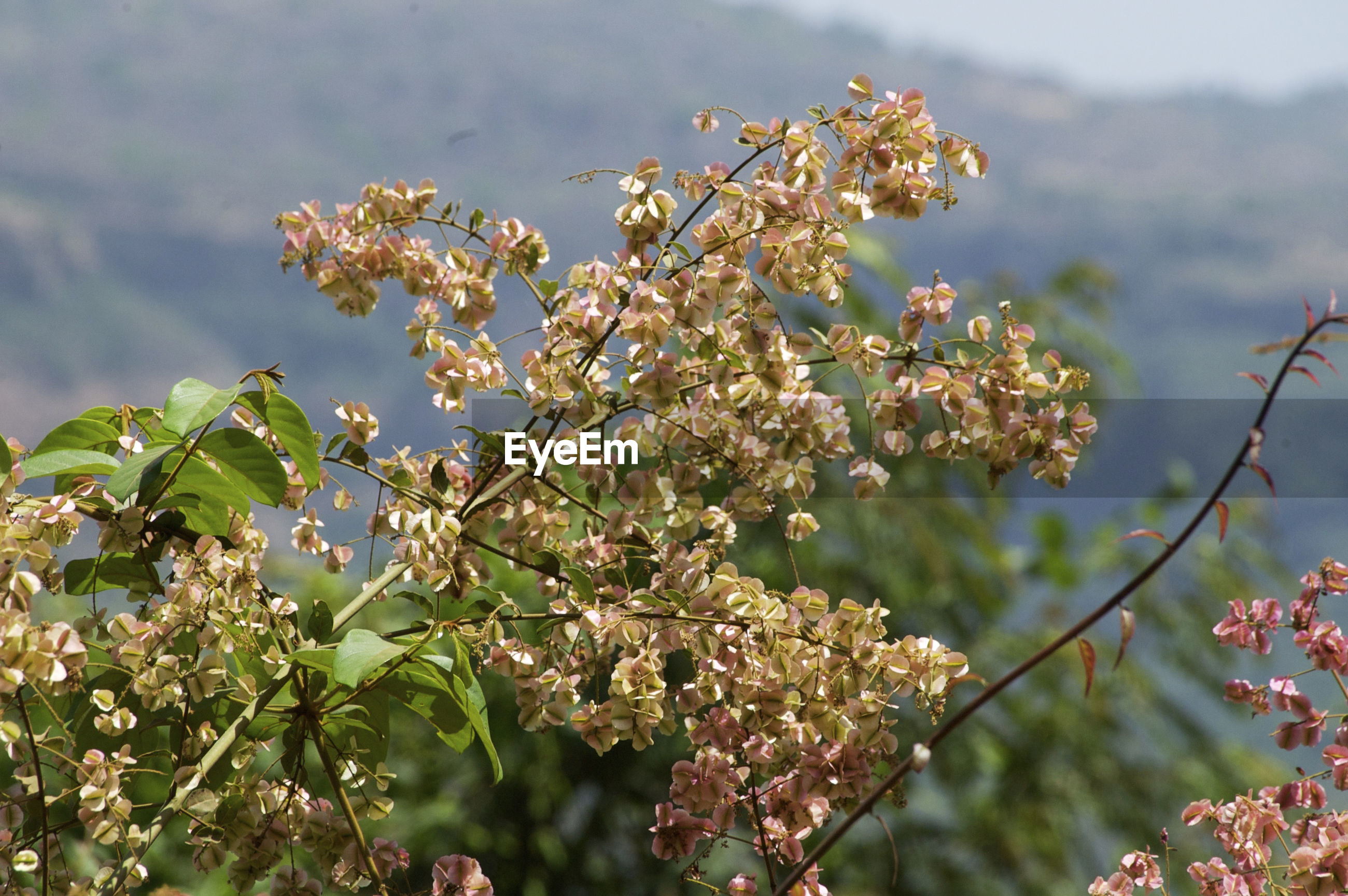 CLOSE-UP OF FRESH FLOWERS BLOOMING IN TREE