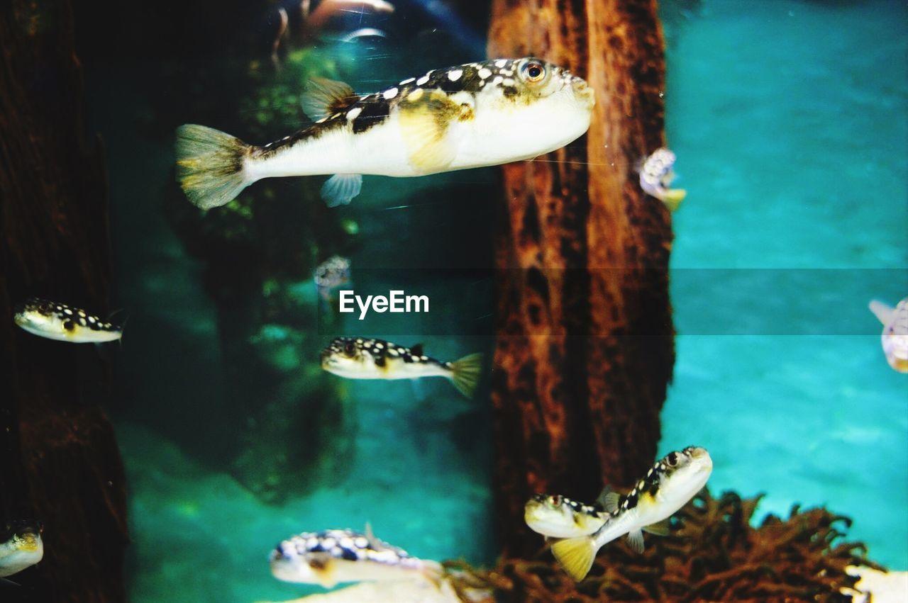 Puffer fish in aquarium