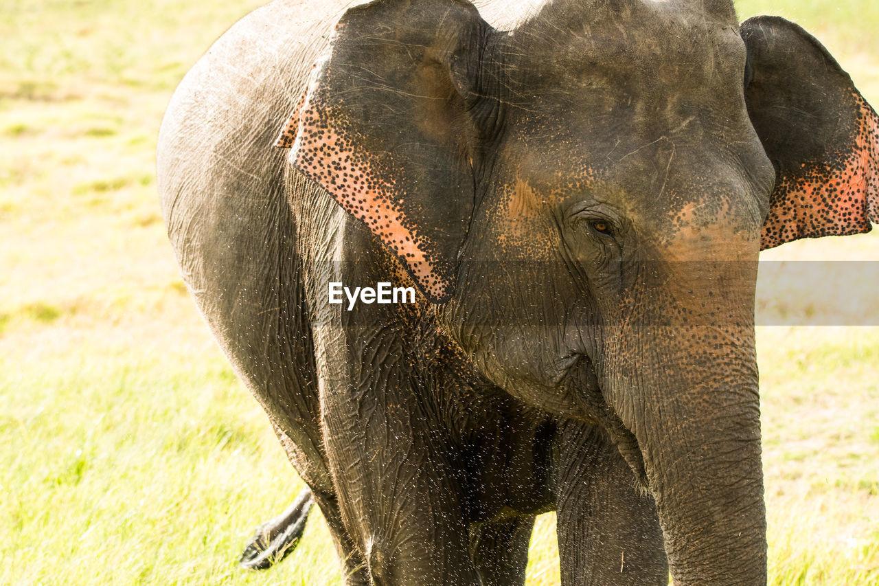 CLOSE-UP OF ELEPHANT ON ZEBRA