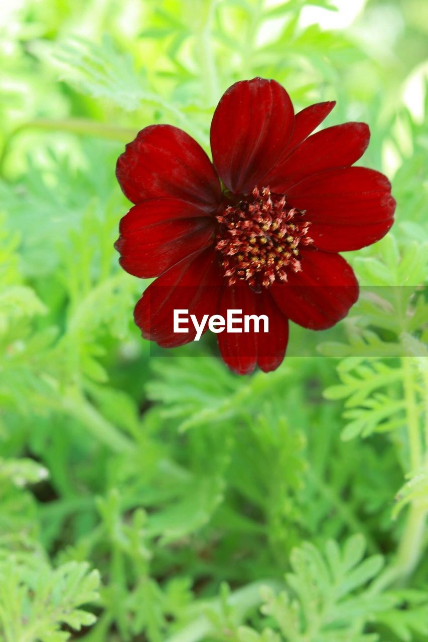 flower, red, nature, growth, plant, beauty in nature, petal, freshness, fragility, flower head, blooming, no people, field, day, outdoors, close-up