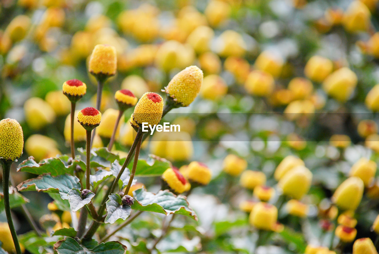 growth, plant, freshness, beauty in nature, vulnerability, nature, fragility, close-up, flower, focus on foreground, yellow, no people, flowering plant, day, selective focus, tree, leaf, food, plant part, green color, outdoors, flower head