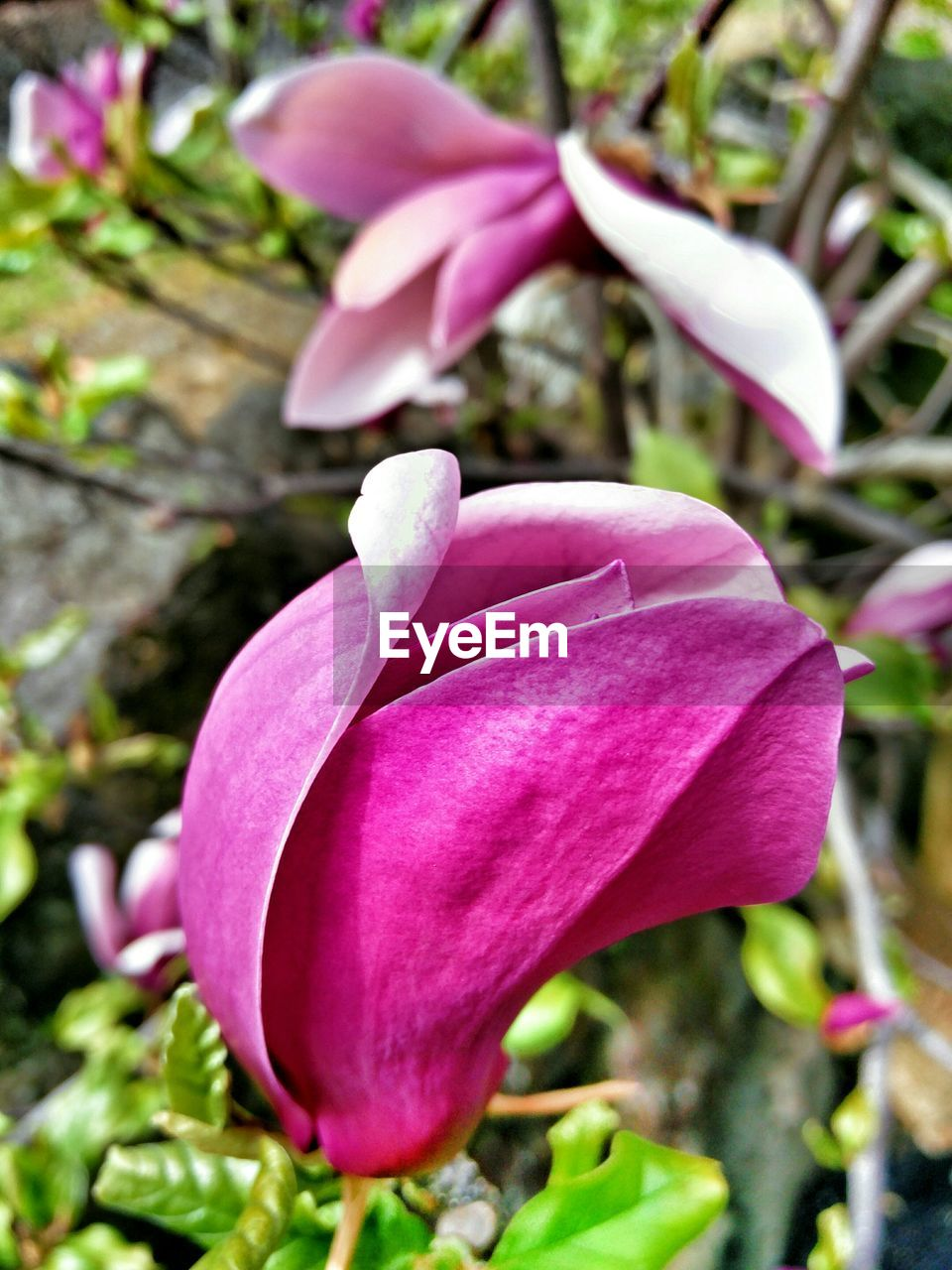 Close-Up Of Magnolia Blooming On Tree